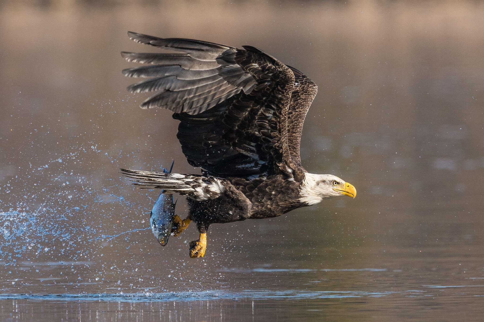 Before the MBTA, Bald Eagles were frequently electrocuted by power lines. The threat of prosecution under the law encouraged utilities to develop bird-safe guidelines to minimize unnecessary deaths. Mark Boyd/Audubon Photography Awards
