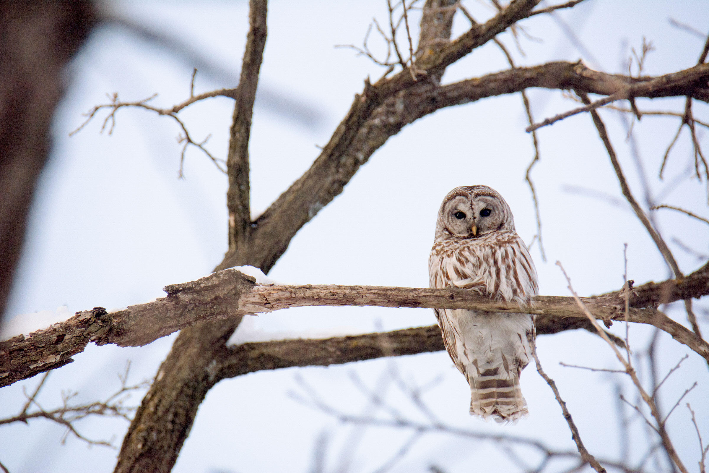 Barred Owl's exhibit extreme eyeshine when caught by a beam of light, possibly explaining the glowing red eyes associated with the Mothman. Alec Malenfant/Audubon Photography Awards