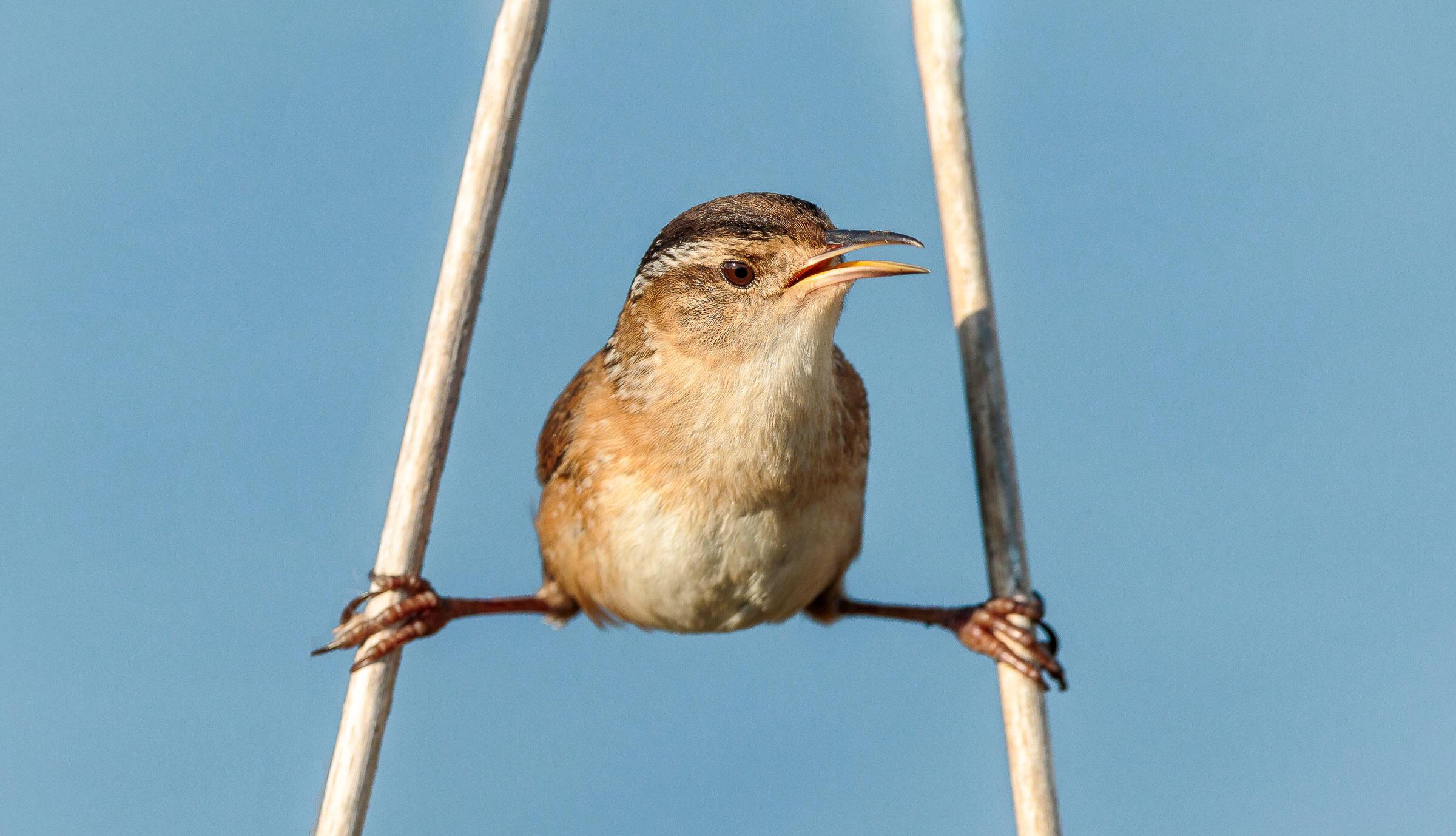 Marsh Wren. Matthew Filosa/Audubon Photography Awards