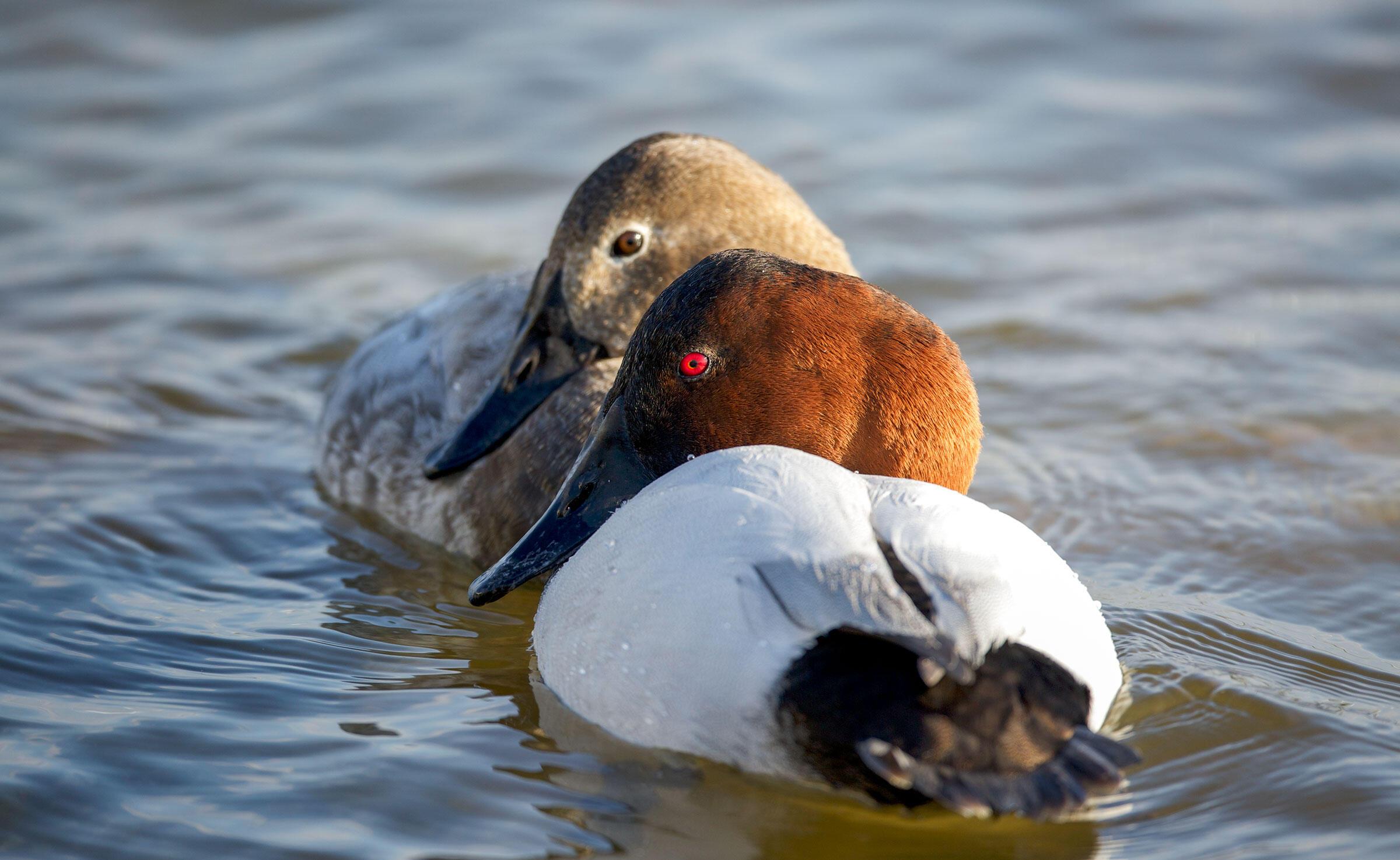 Canvasbacks. Chandler Wiegand/Audubon Photography Awards