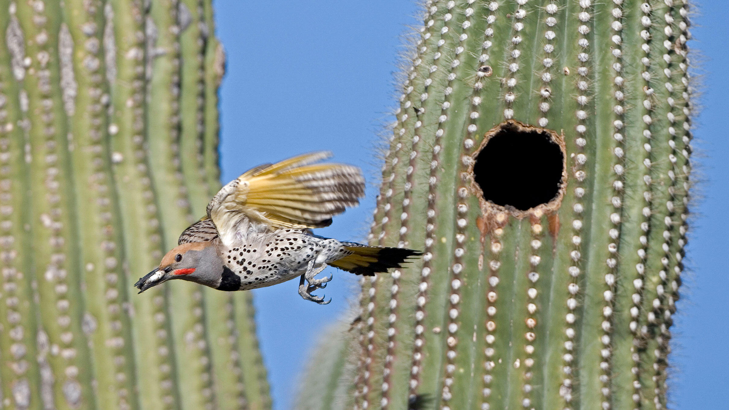 Gilded Flicker leaving the nest with a fecal sac. John Cancalosi/Alamy