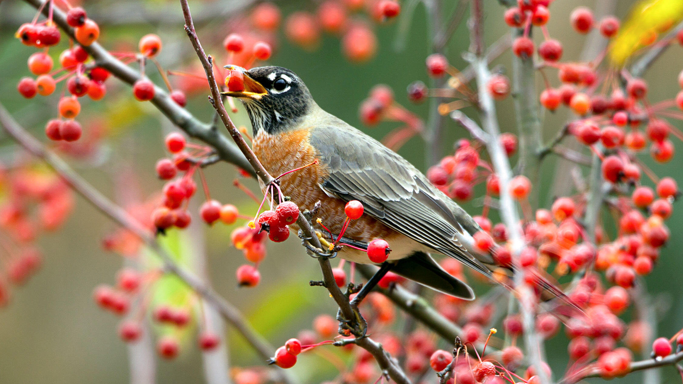 American Robin in a crab apple tree. Dave Maslowski