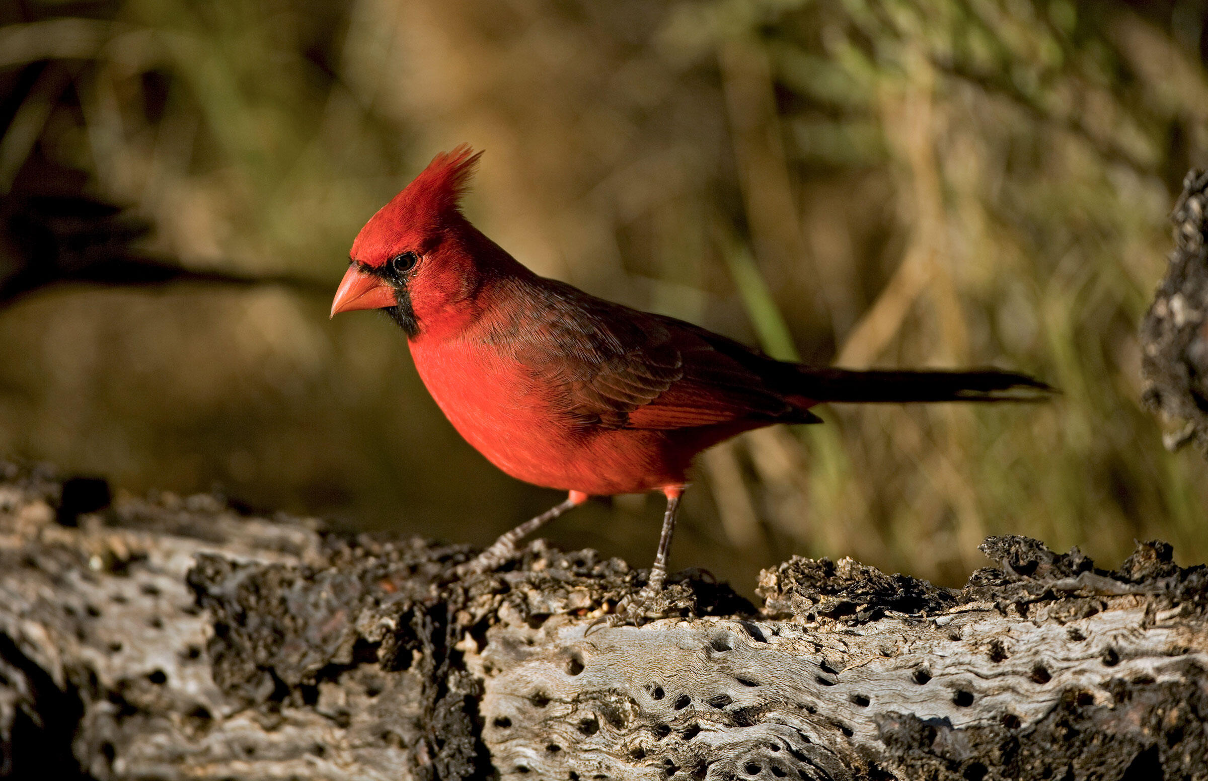 The Sonoran Desert subspecies of the Northern Cardinal can only be found in Arizona, Southern California, and Mexico. It looks and sounds different from the main population, so much so that it may be its own species. John Cancalosi/Alamy