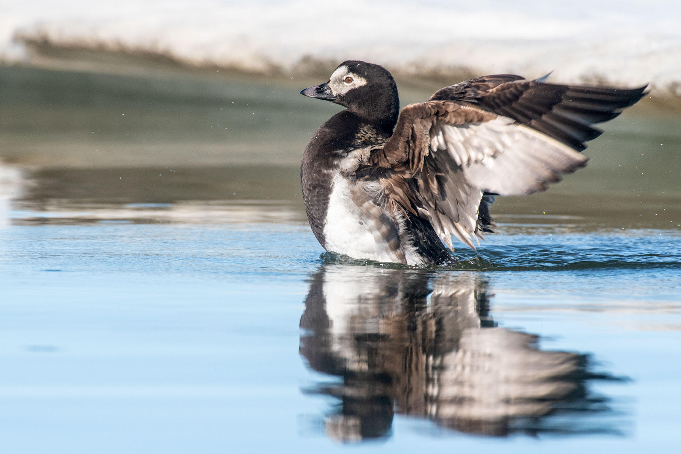 Long-tailed Duck in Alaska's Arctic National Wildlife Refuge. Peter Mather