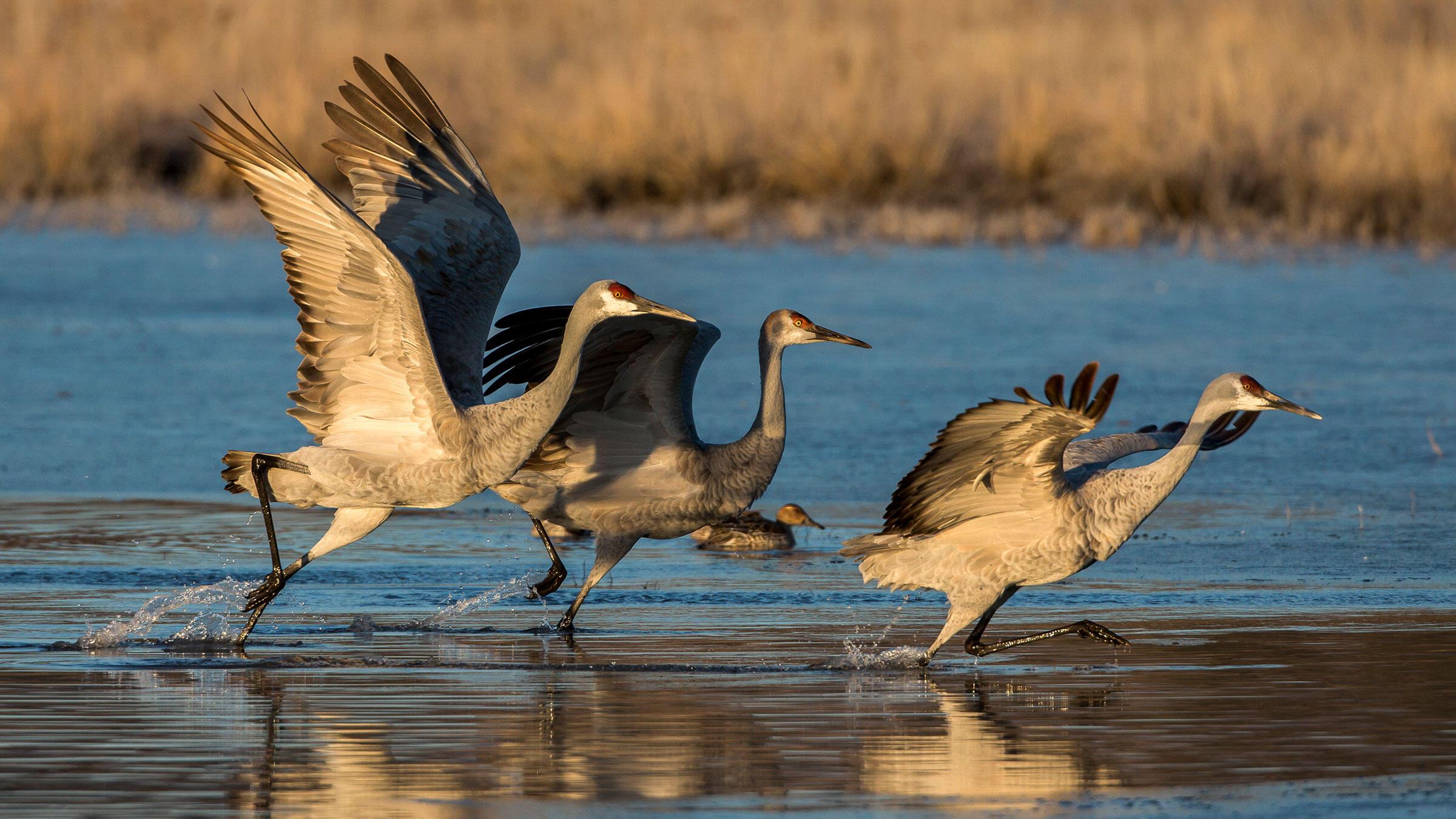 Sandhill Cranes. Steve Torna/Audubon Photography Awards