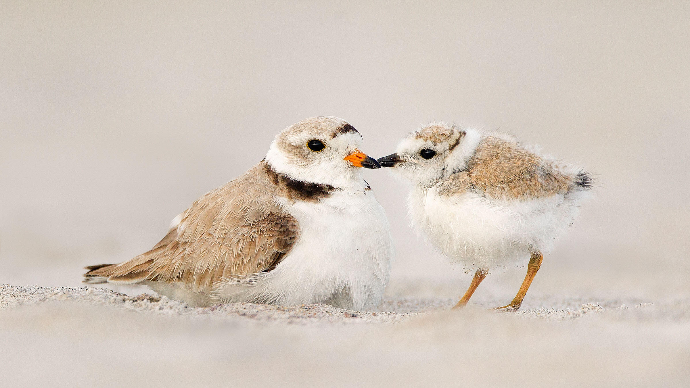 Piping Plovers. Melissa Groo/Audubon Photography Awards