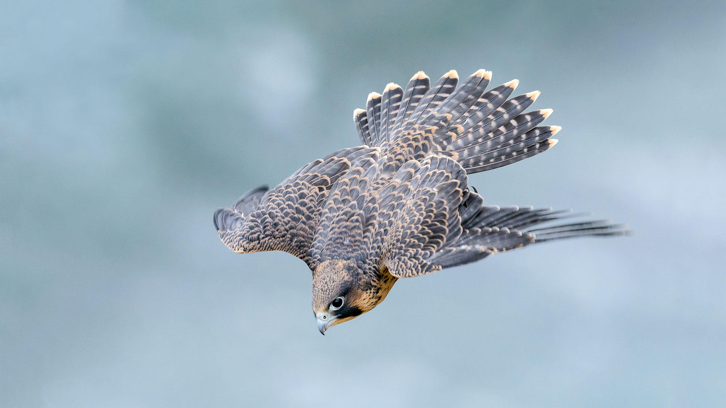 Research Reveals Exactly Why Peregrine Falcons Are So Deadly Audubon