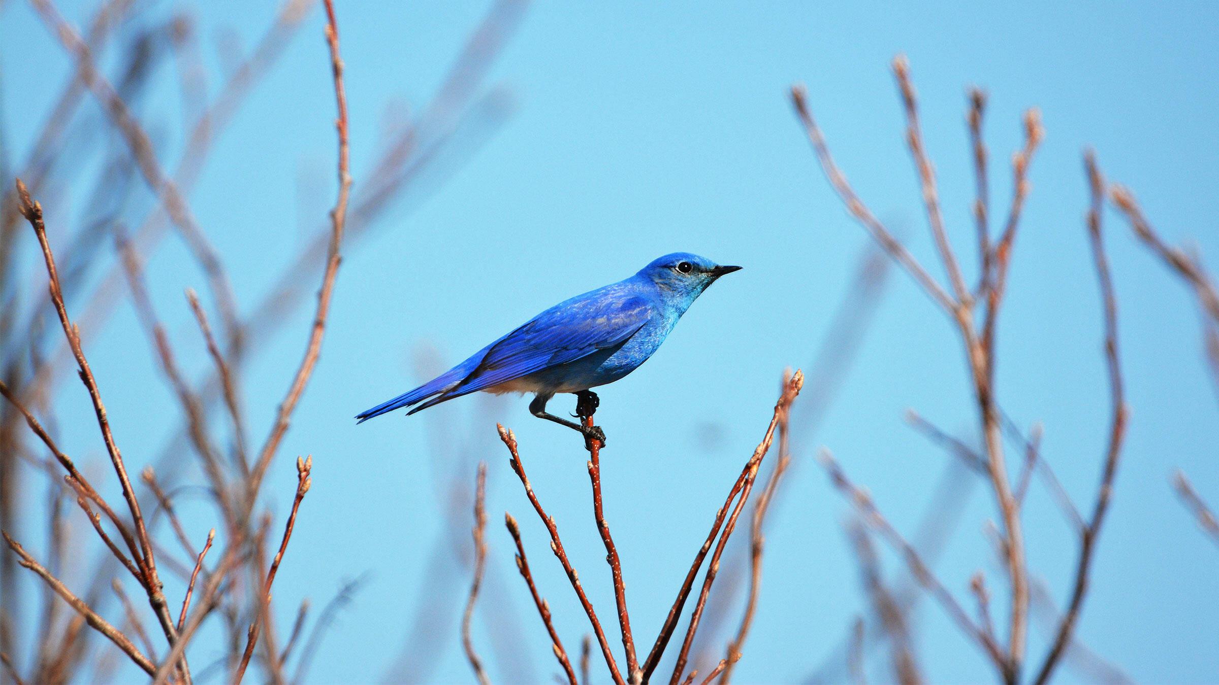 Mountain Bluebird. Diane Taylor/Audubon Photography Awards