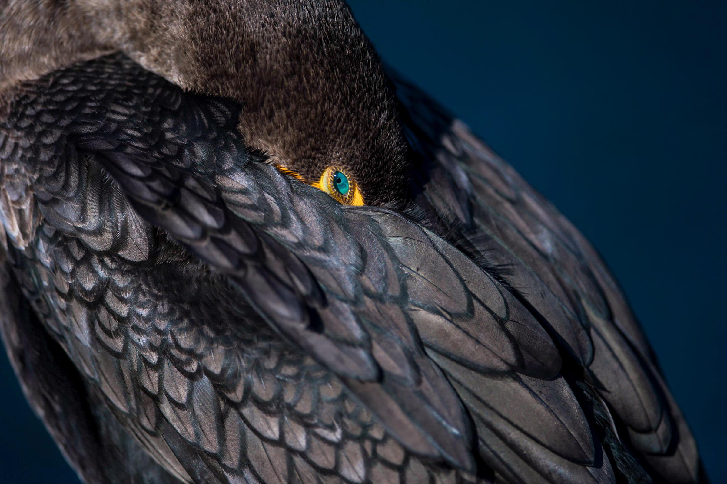 Double-crested Cormorant. Robert Brian Rivera/Audubon Photography Awards