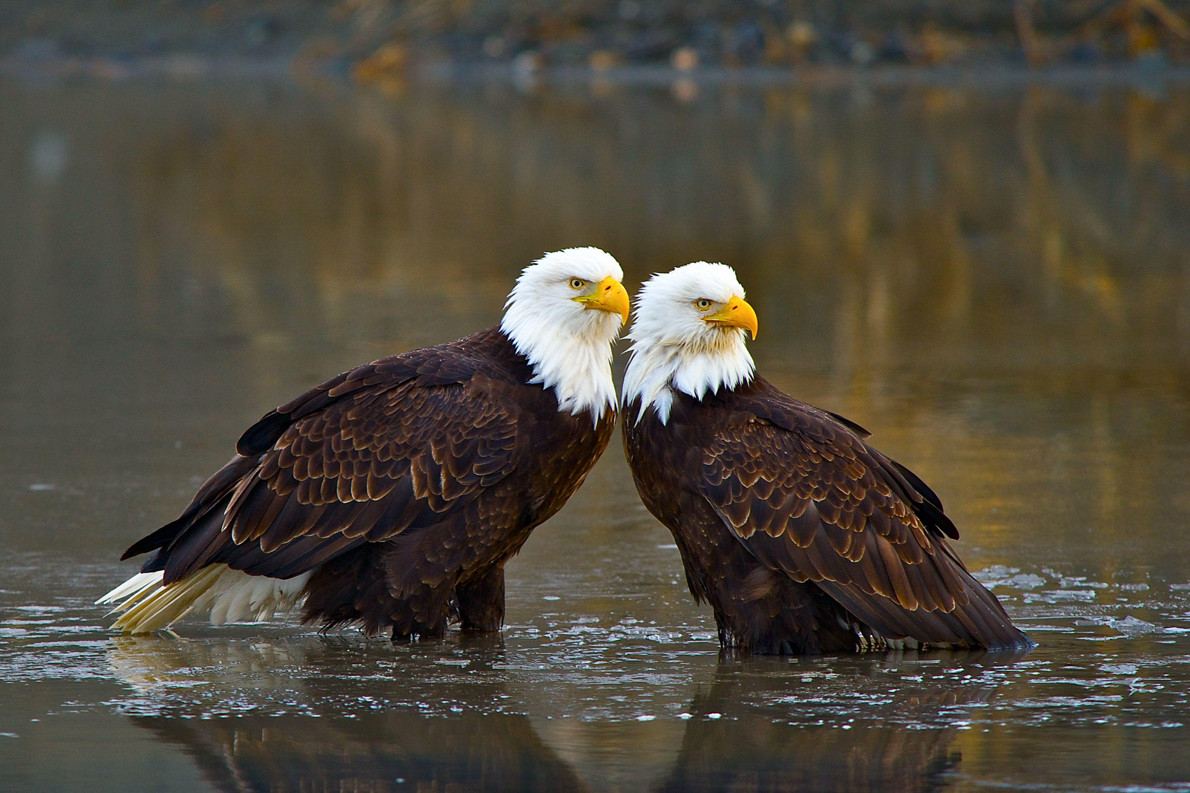 Bald Eagles. Jaime Lyons/Audubon Photography Awards