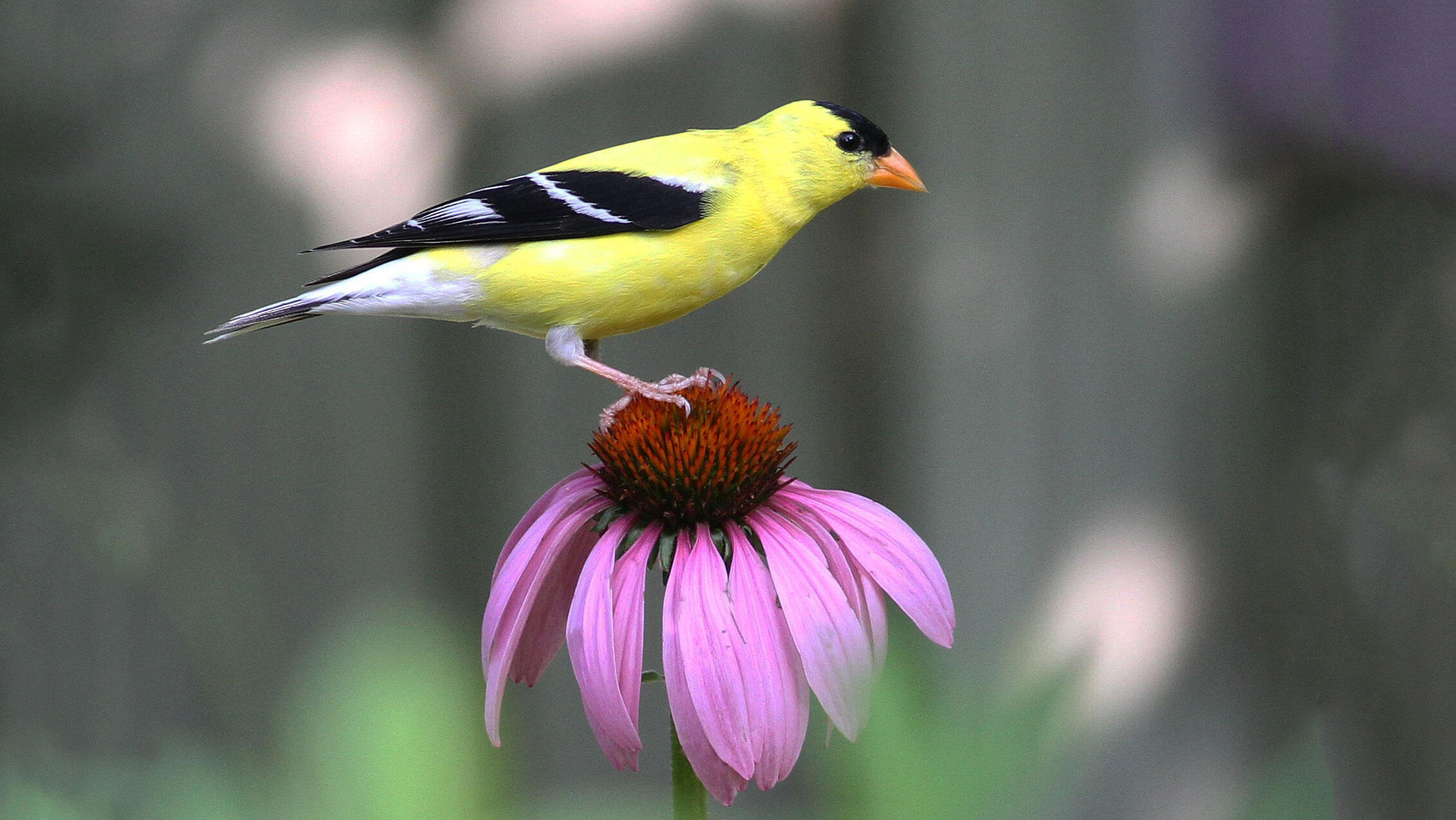 Purple coneflower and American Goldfinch. Will Stuart