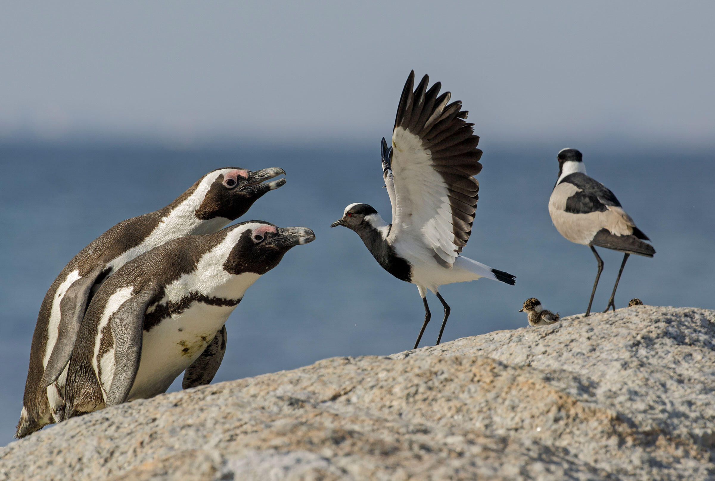 African Penguins and Blacksmith Lapwings. Nate Chappell/Audubon Photography Awards