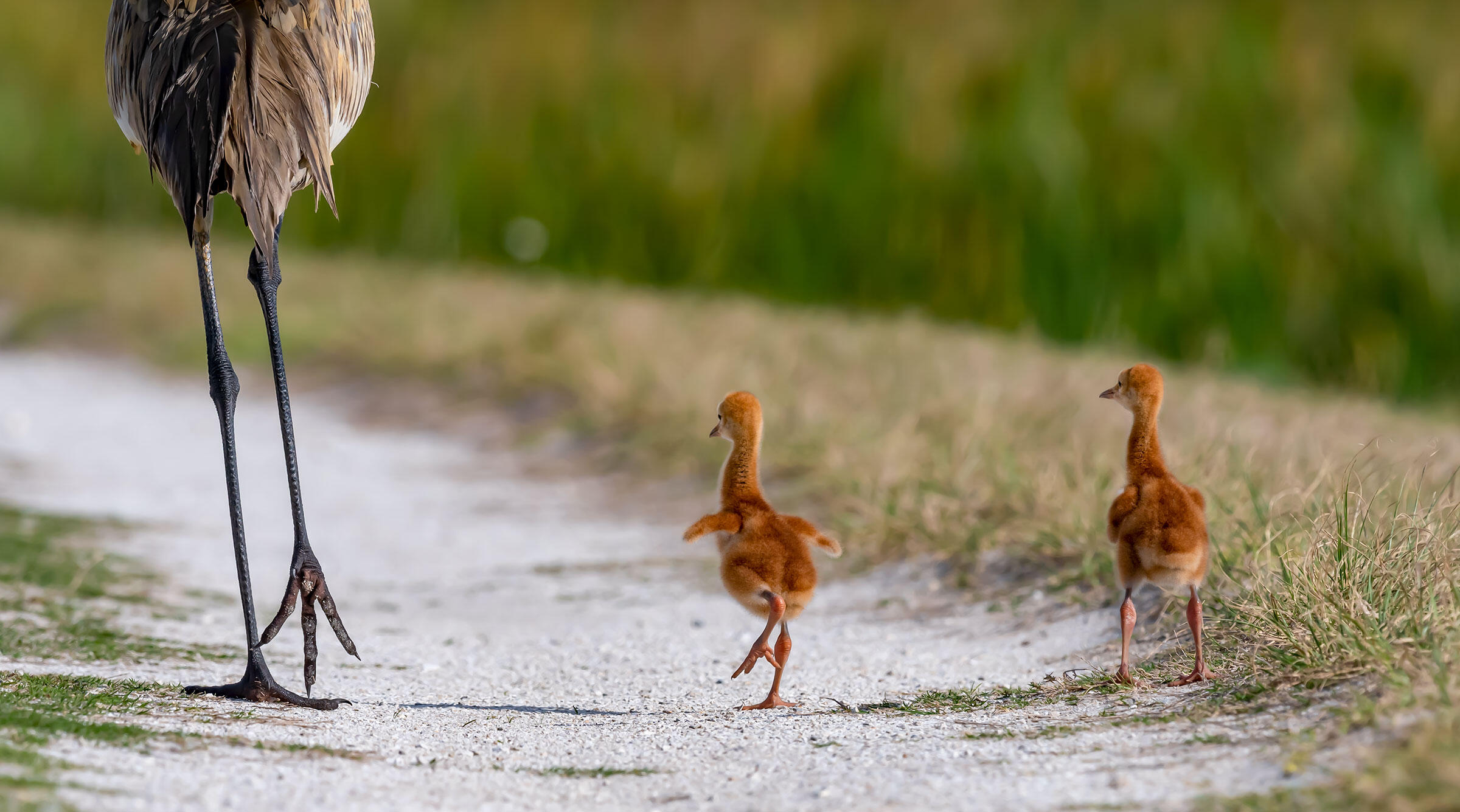 Sandhill Cranes. Mark Smith/Audubon Photography Awards
