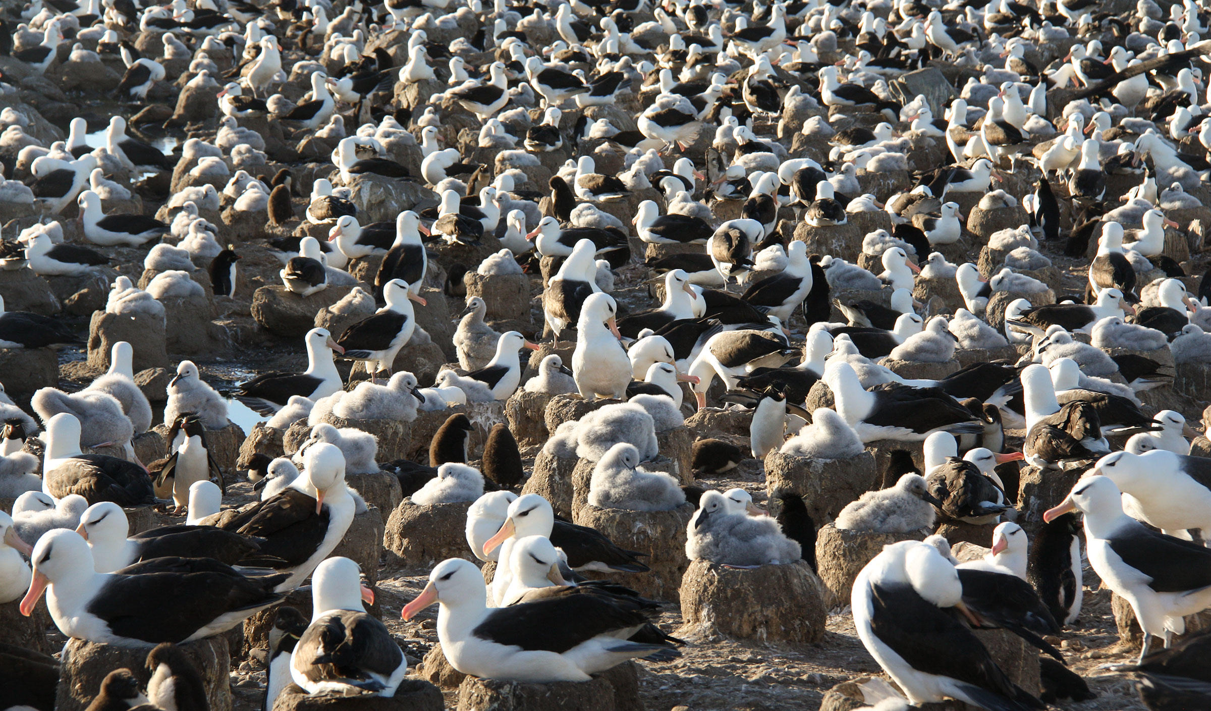 Black-browed Albatross colony in the Falkland Islands with Southern Rockhopper Penguins scattered throughout. Julie McInnes