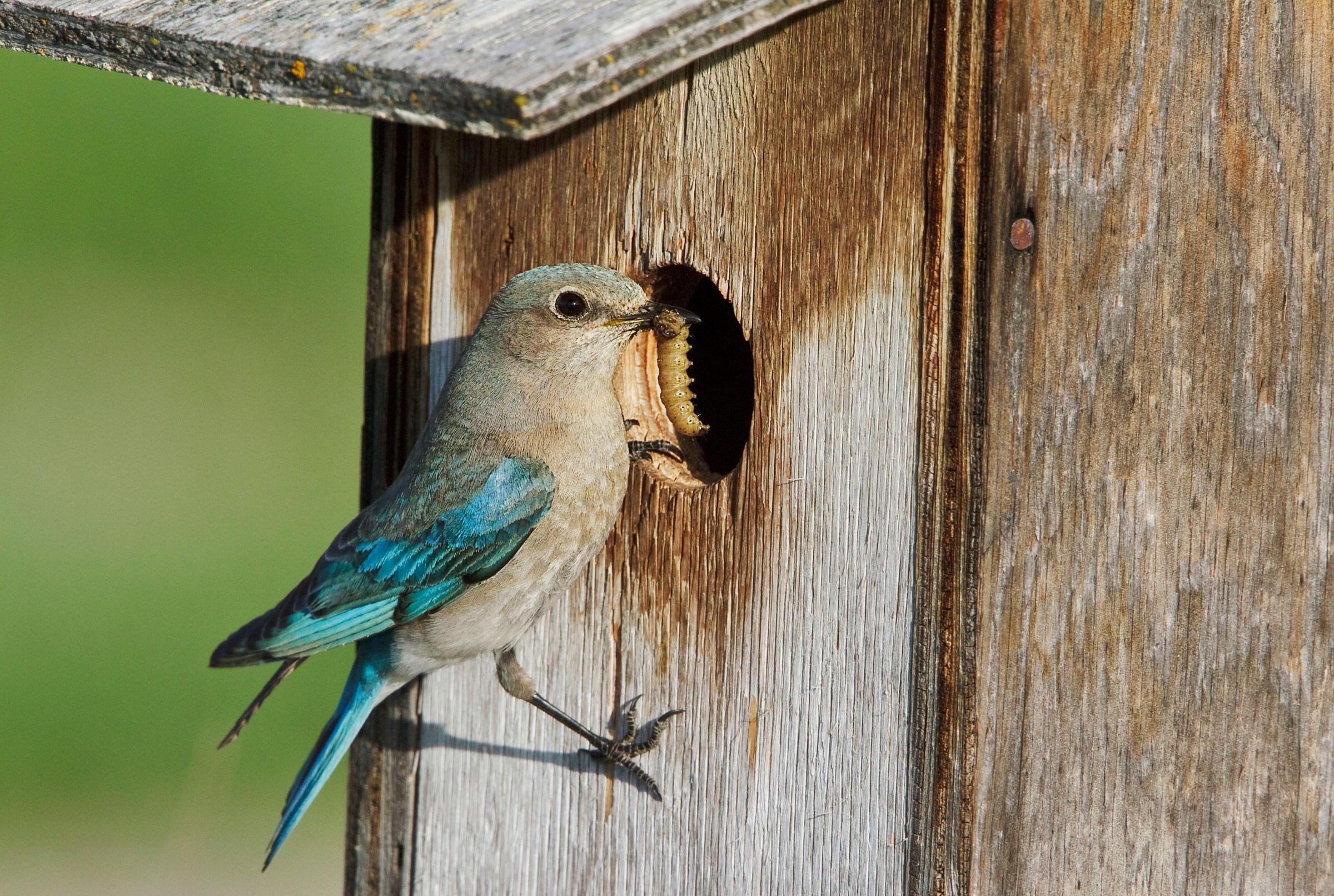 Adult female Mountain Bluebird. Glenn Bartley/BIA/Minden Pictures/Corbis