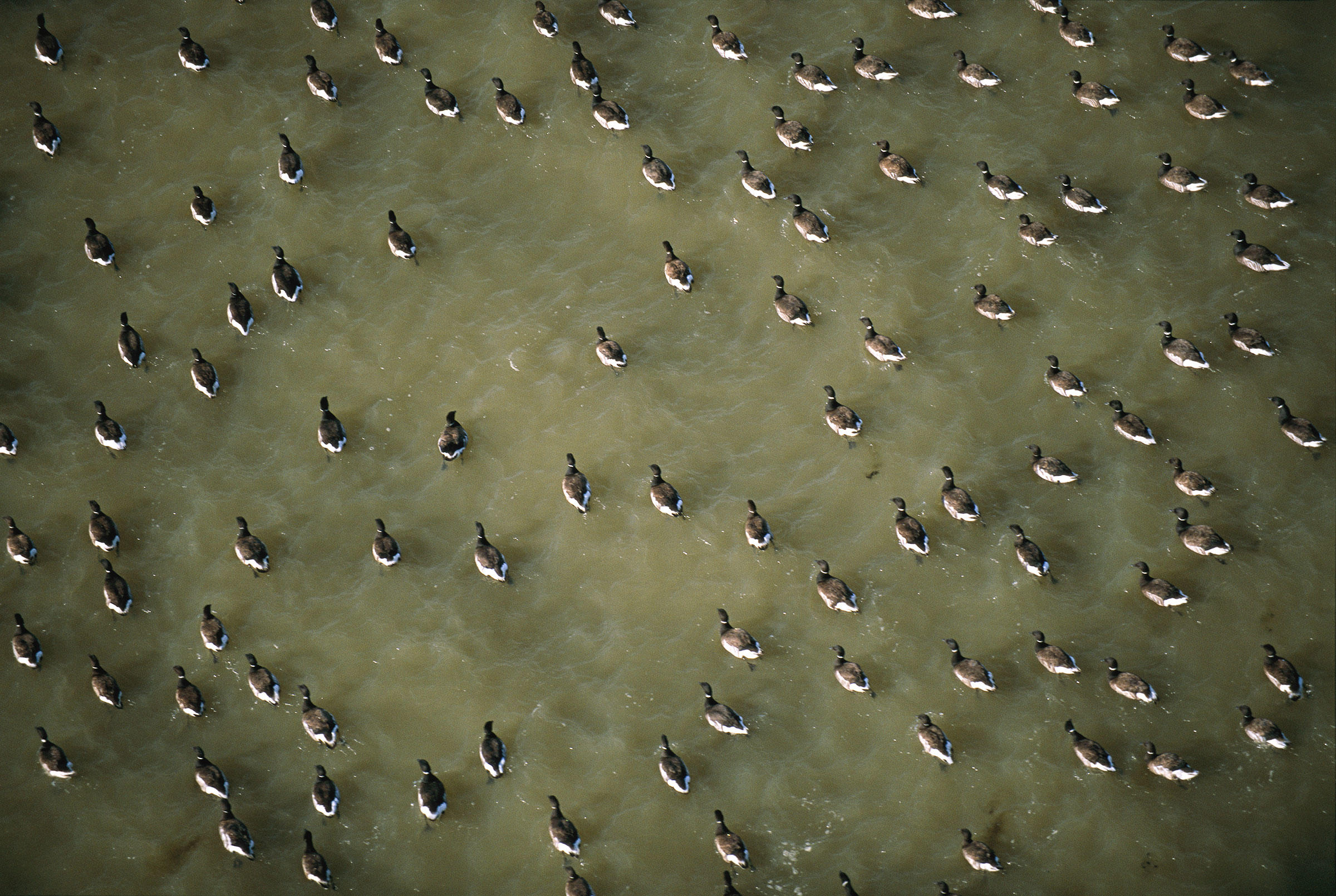 Pacific Black Brant in the Teshekpuk Lake Special Area of the National Petroleum Reserve-Alaska. Joel Sartore/National Geographic Image Collection