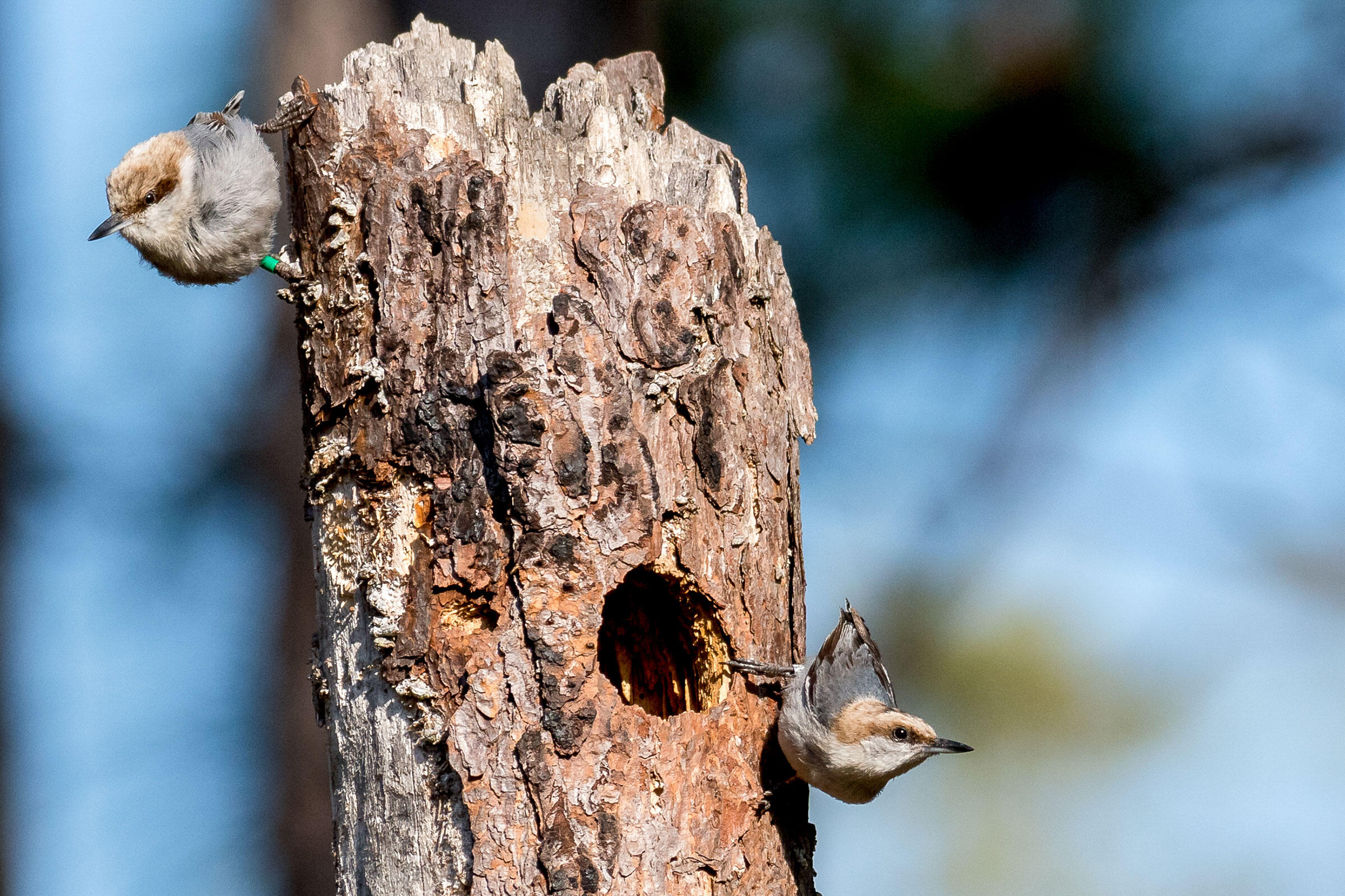 A Brown-headed Nuthatch pair at the Tall Timbers Research Station in Florida. The banded individual is a male cooperative breeder that went on to raise a family of its own. Brian Lloyd