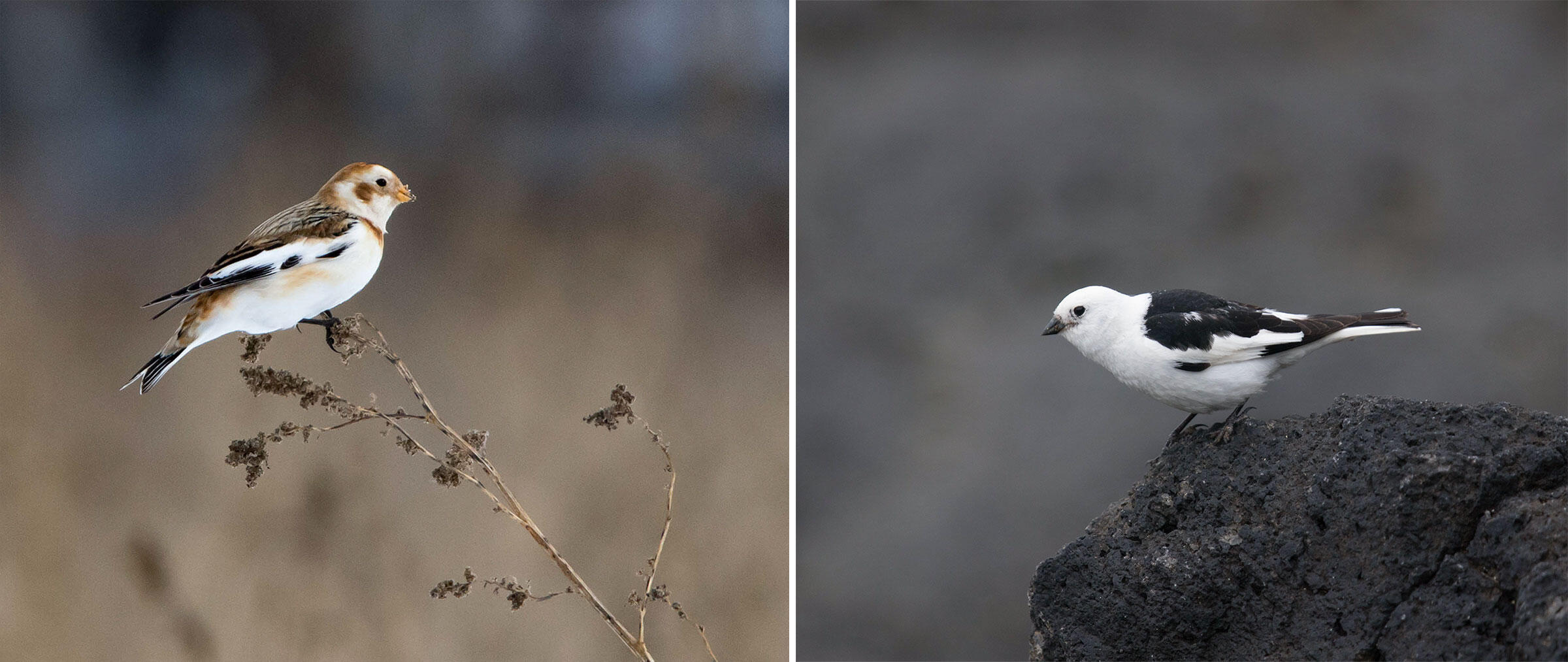 Snow Buntings in winter (left) and summer (right) plumage. Photos from left: Kent McFarland/Flickr (CC BY-NC 2.0); Aaron Budgor/Flickr (CC BY-NC-ND 2.0)