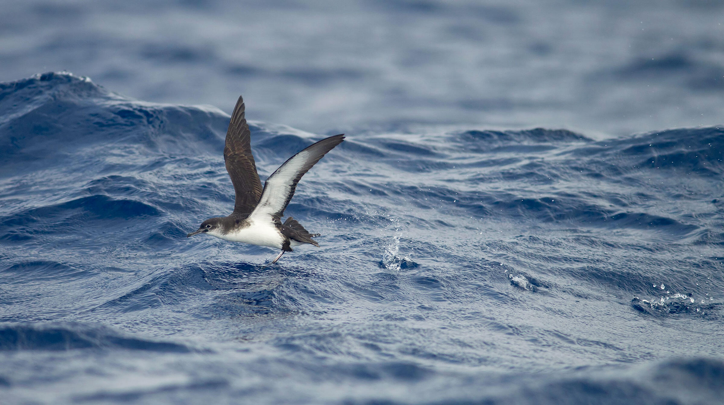 Manx Shearwaters often overshoot their destination of Cape Horn, Chile, and end up in the Pacific rather than the Atlantic. As a result, there have been more and more sightings on the West Coast. George Reszeter/Alamy