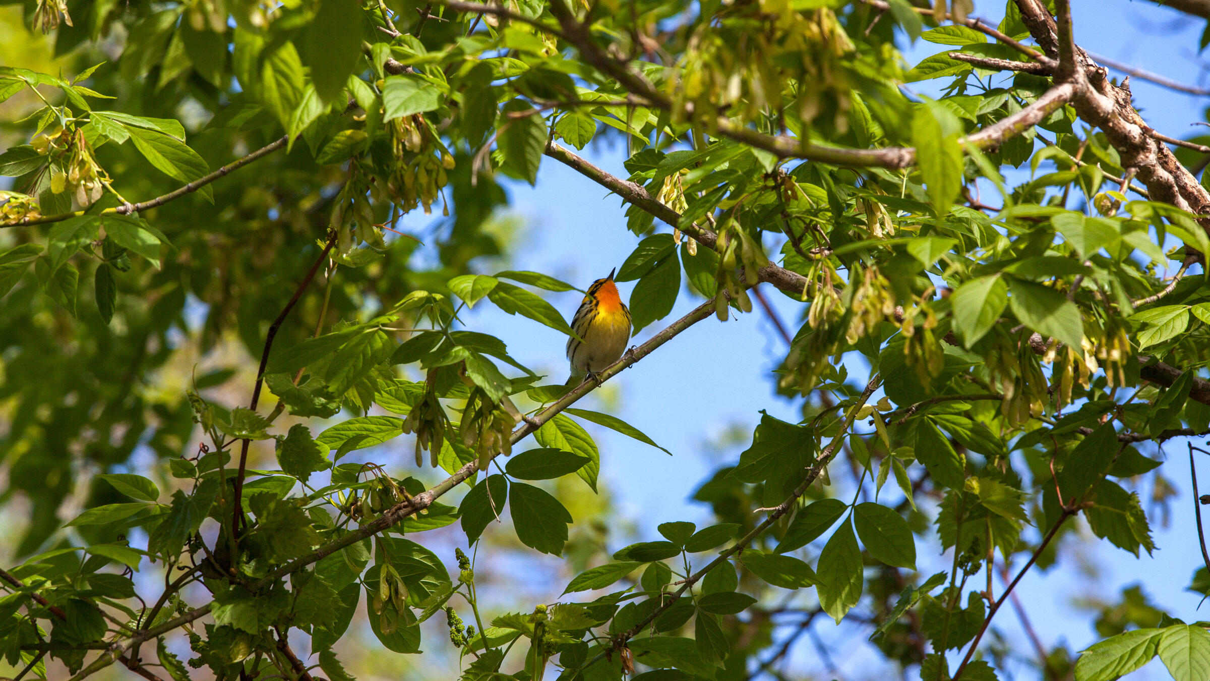 A Blackburnian Warbler sings in Ohio's Magee Marsh Wildlife Area, one of the best places in the country to see (and photograph) migrating warblers. Camilla Cerea/Audubon