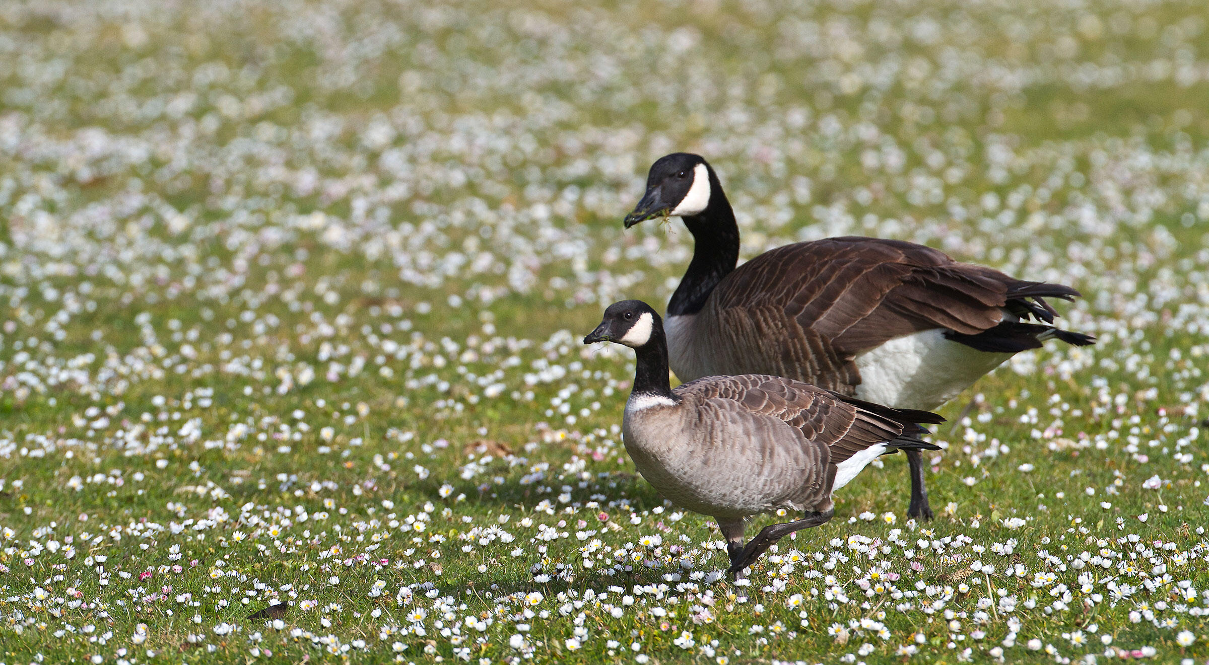"""The Cackling Goose (left) might look like a Mini-Me of the Canada Goose (right), but in fact there are nuanced differences between them. <a href=""""https://www.flickr.com/photos/34328261@N02/8432082328/"""">Blake Matheson</a>/Flickr CC (BY-NC 2.0)"""