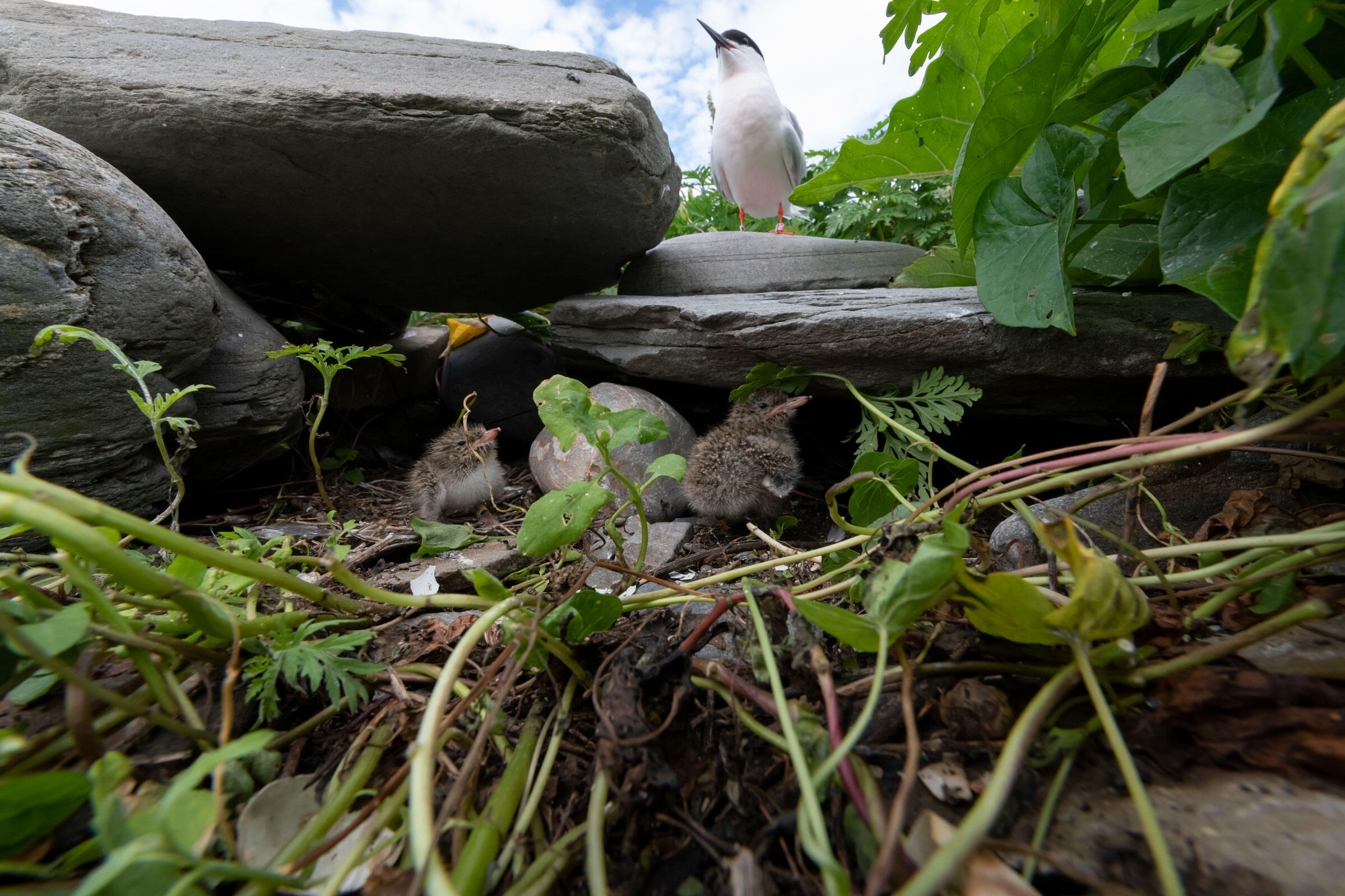 A Roseate Tern adult and chicks. Chris Linder