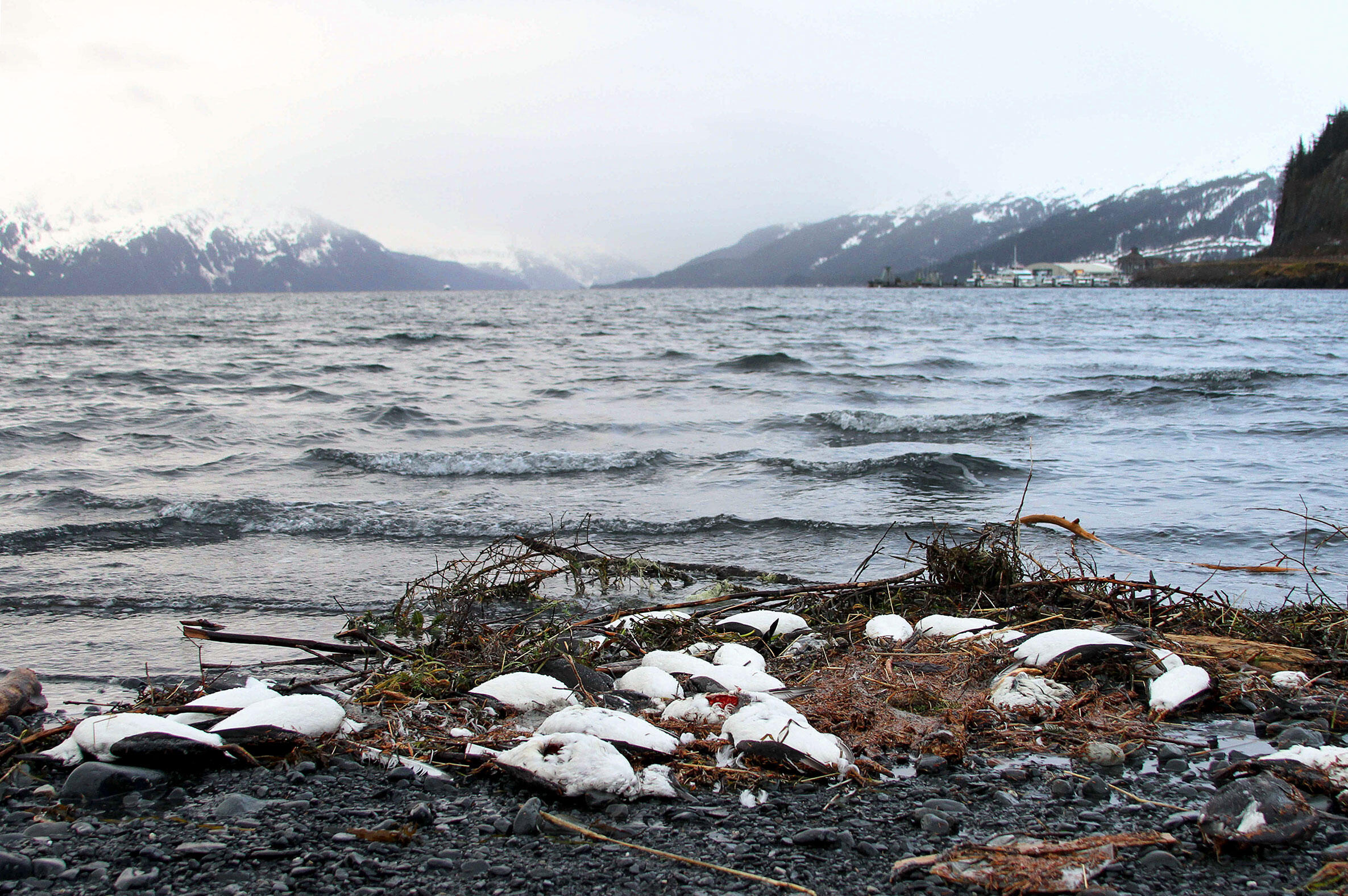 In 2016, tens of thousands of Common Murres washed up dead on beaches lining the Gulf of Alaska. Several more mass seabird die-offs have occurred in the region since then. Mark Thiessen/AP