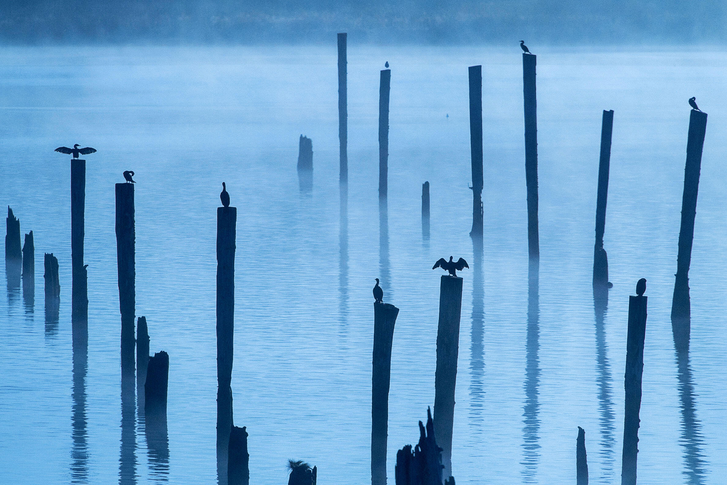 Double-crested Cormorants on the Columbia River in Oregon. Jeff Mauritzen