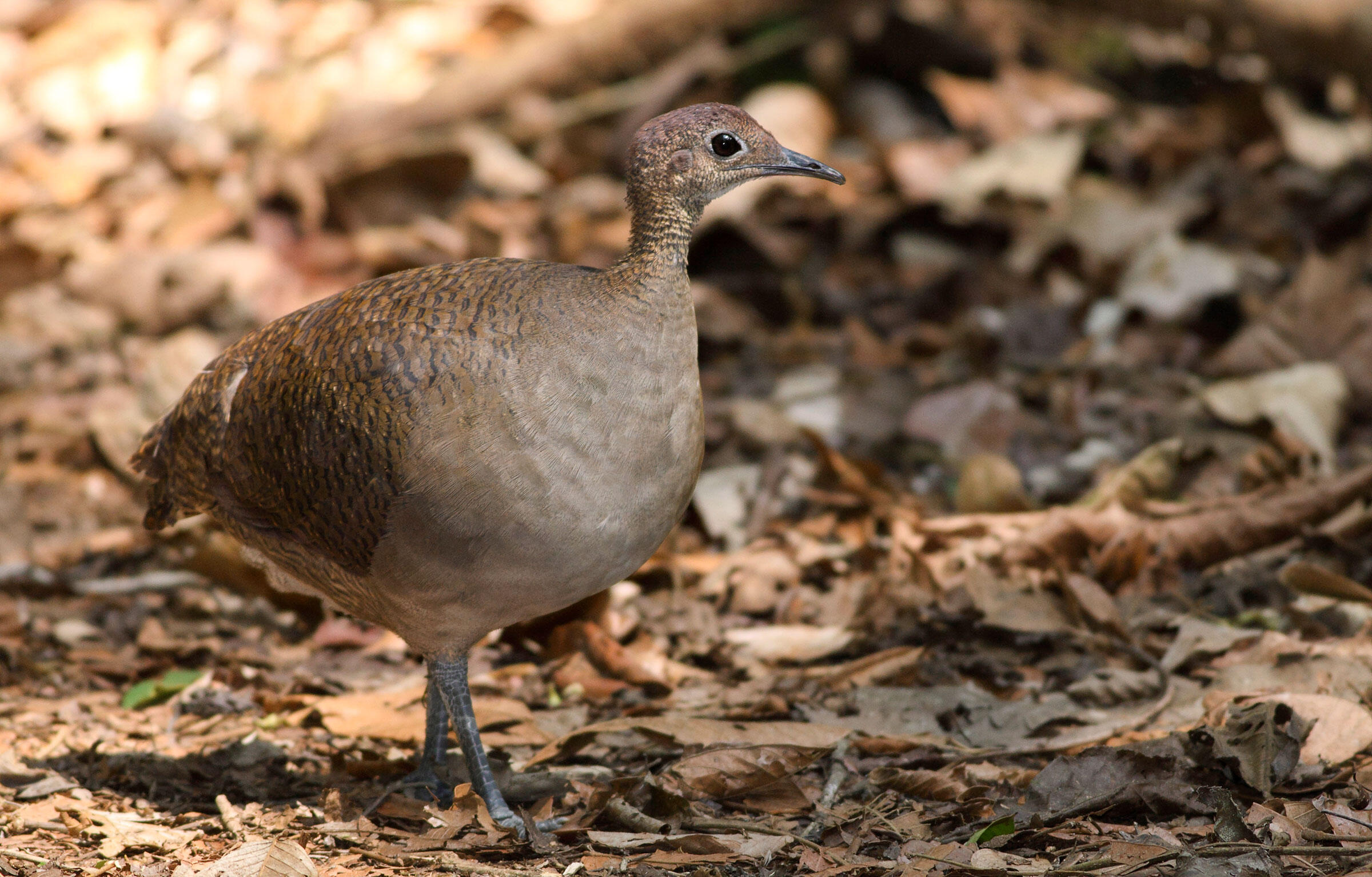 Great Tinamou. Tinamous are among the oldest bird families in the western hemisphere. Adrian Hepworth/Alamy