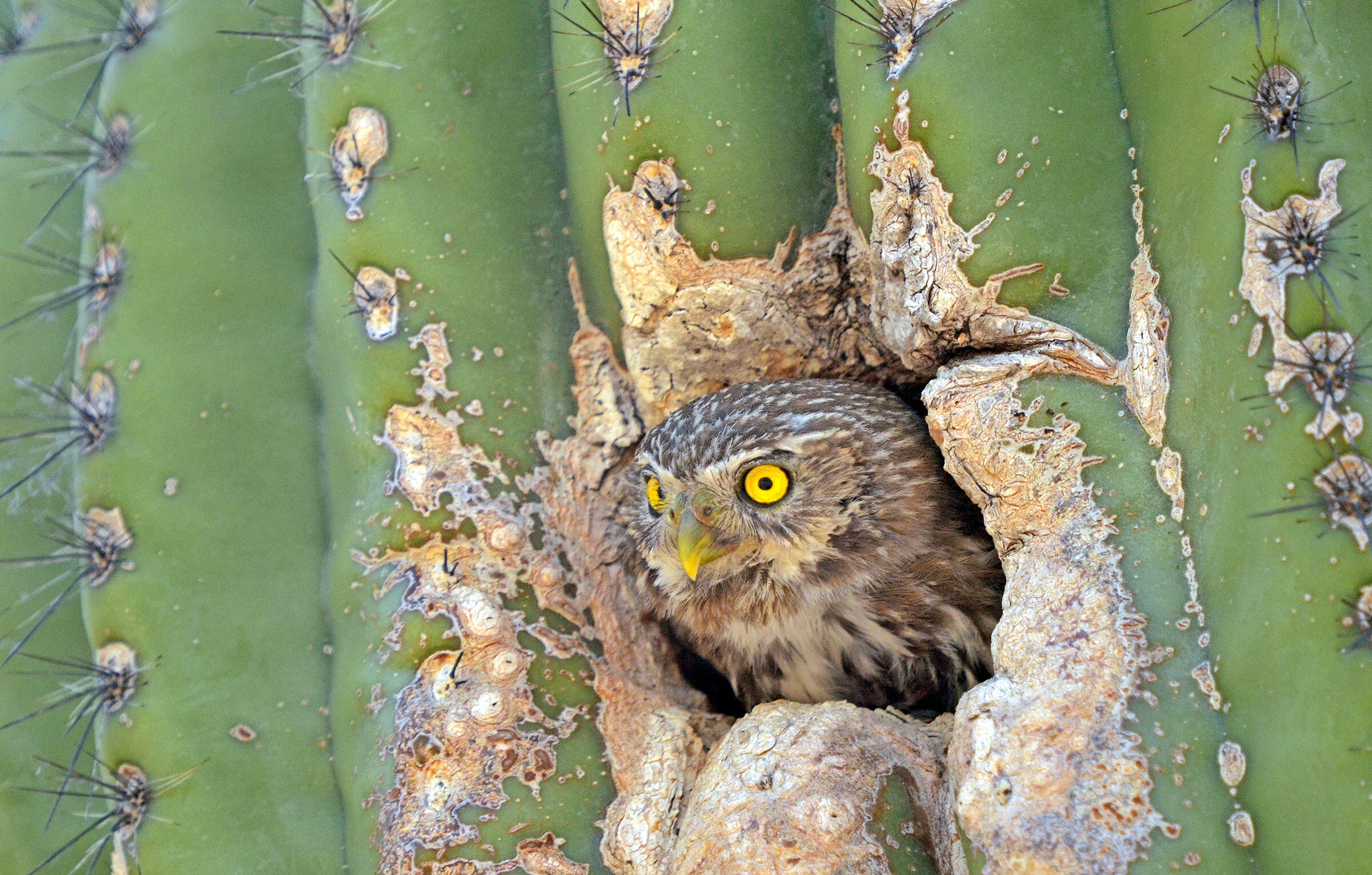 Ferruginous Pygmy-Owls are low-flying birds that will likely be deterred by any tall structure that cross their territory. Aaron Flesch