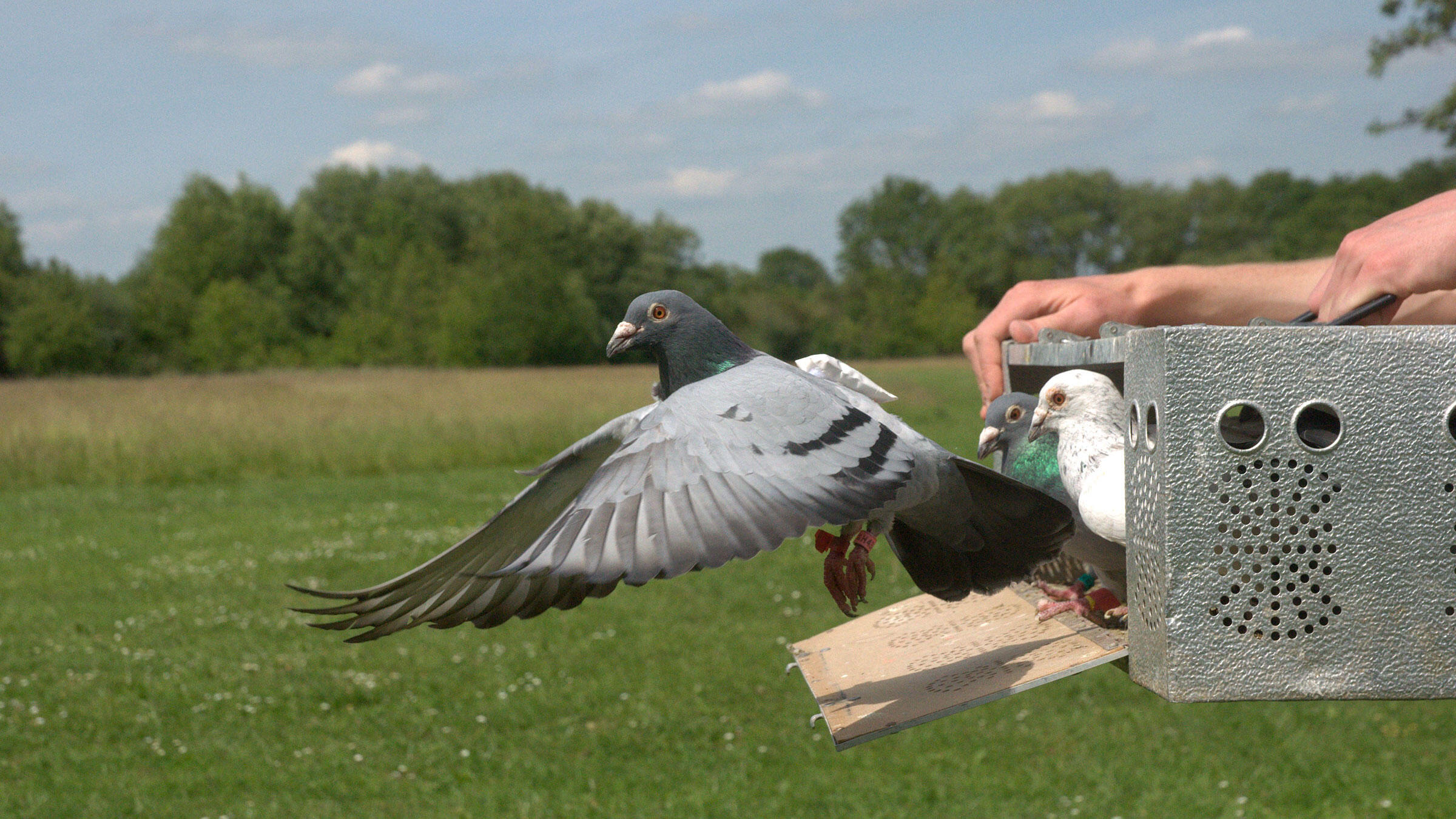 The leader of a pigeon flock usually flies in front—until it's demoted by its flockmates. Zsuzsa Ákos