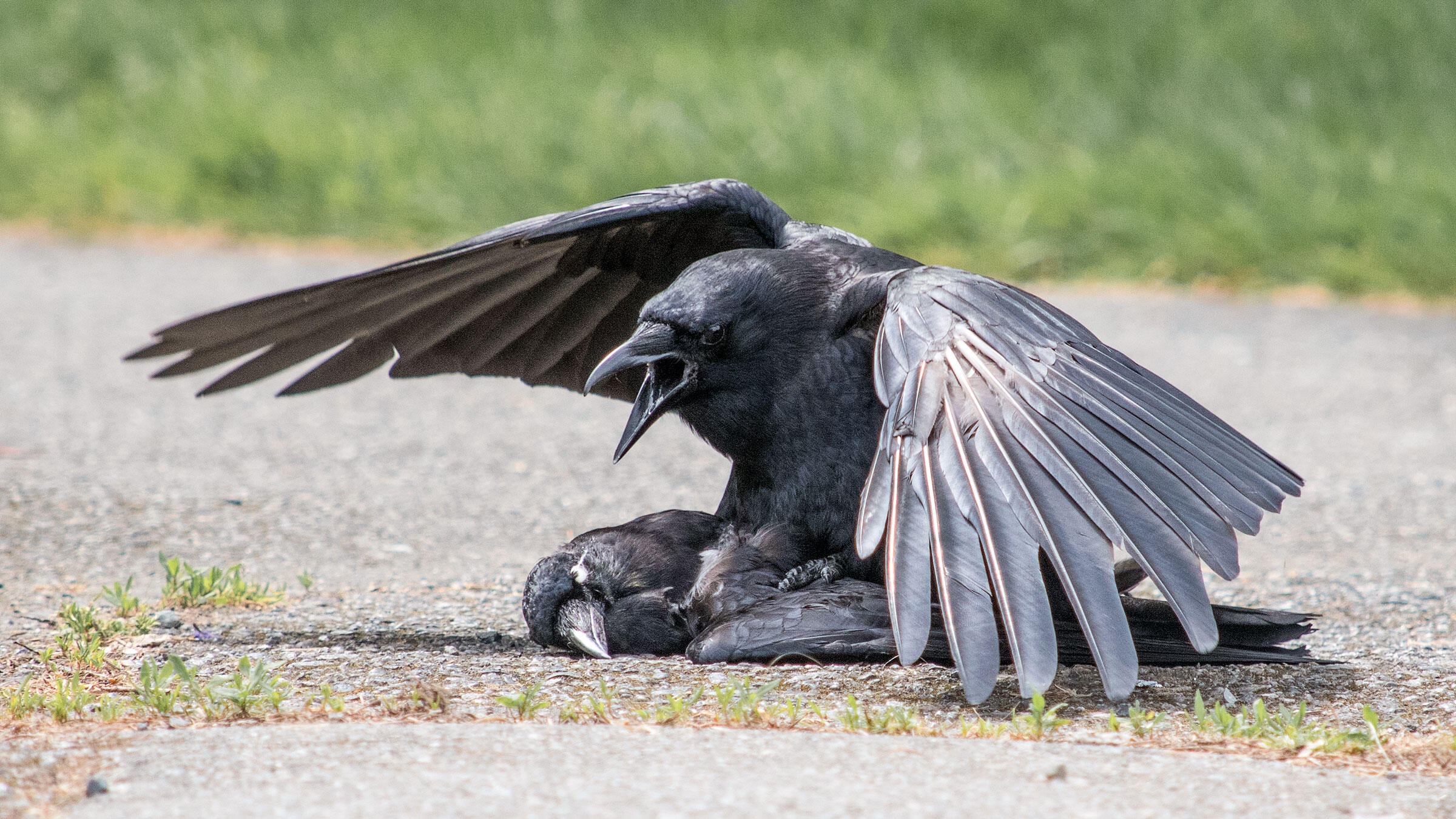 """An American Crow trying to get busy with the corpse of another American Crow. <a href=""""https://corvidresearch.blog/"""">Kaeli Swift</a>"""