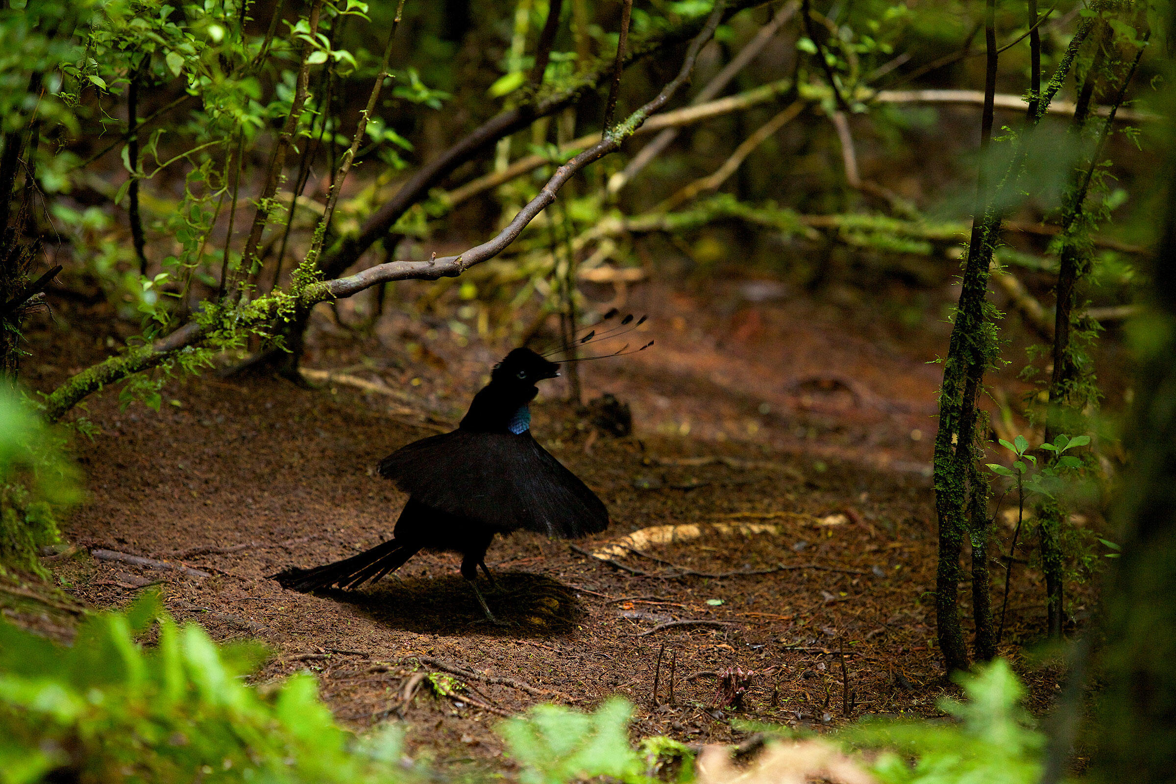 A male Wahnes's Parotia in action in Papua New Guinea. The super-black feathers down its front help offset the iridescent patch on its throat. Tim Laman/National Geographic Creative/Alamy