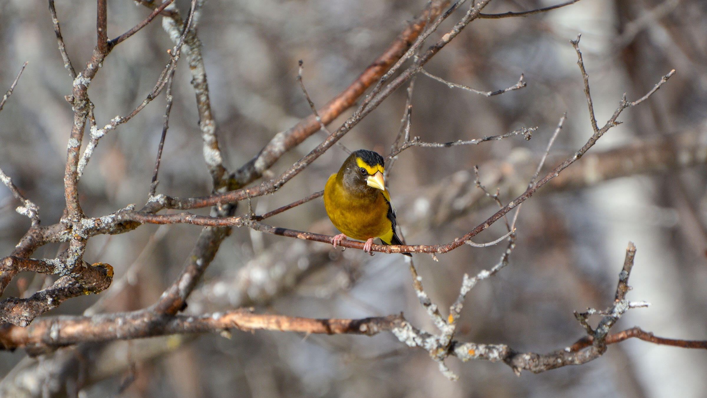 Evening Grosbeaks are among the conifer-forest birds shifting out of Wisconsin and into Canada. Kathy Webb/Great Backyard Bird Count
