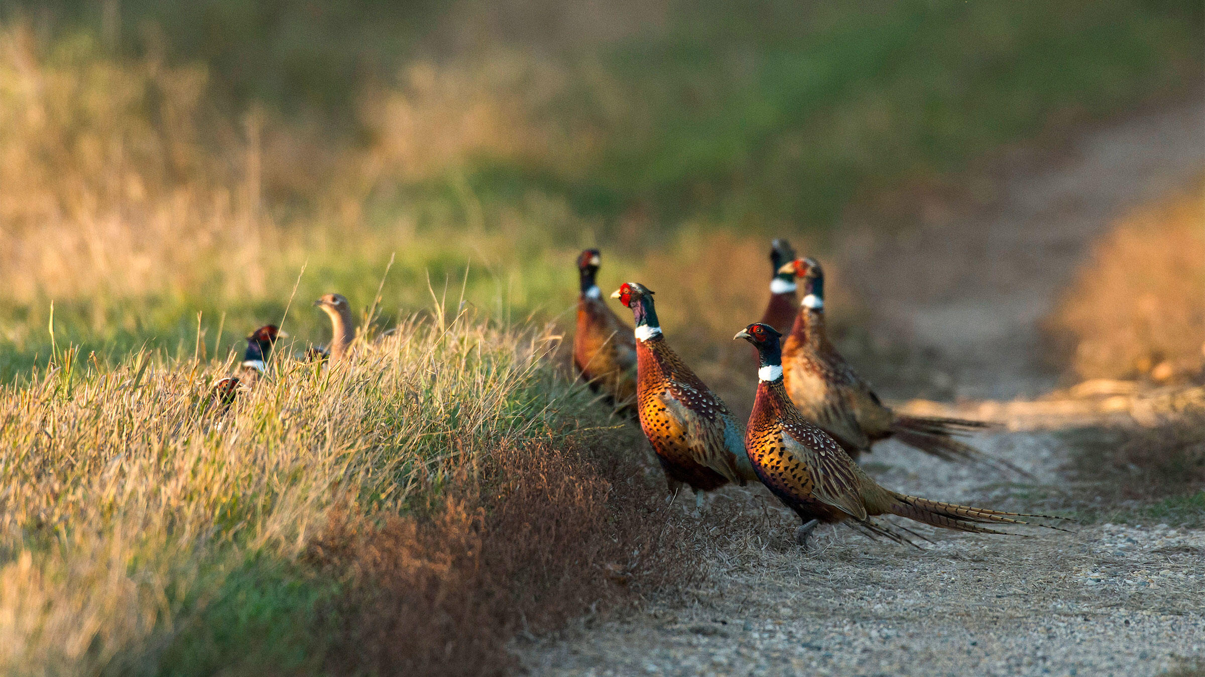 For three consecutive days in April, Wisconsin mail carriers tally the number of Ring-necked Pheasants they spot while making their rounds on rural back roads. Steve Oehlenschlager/Alamy