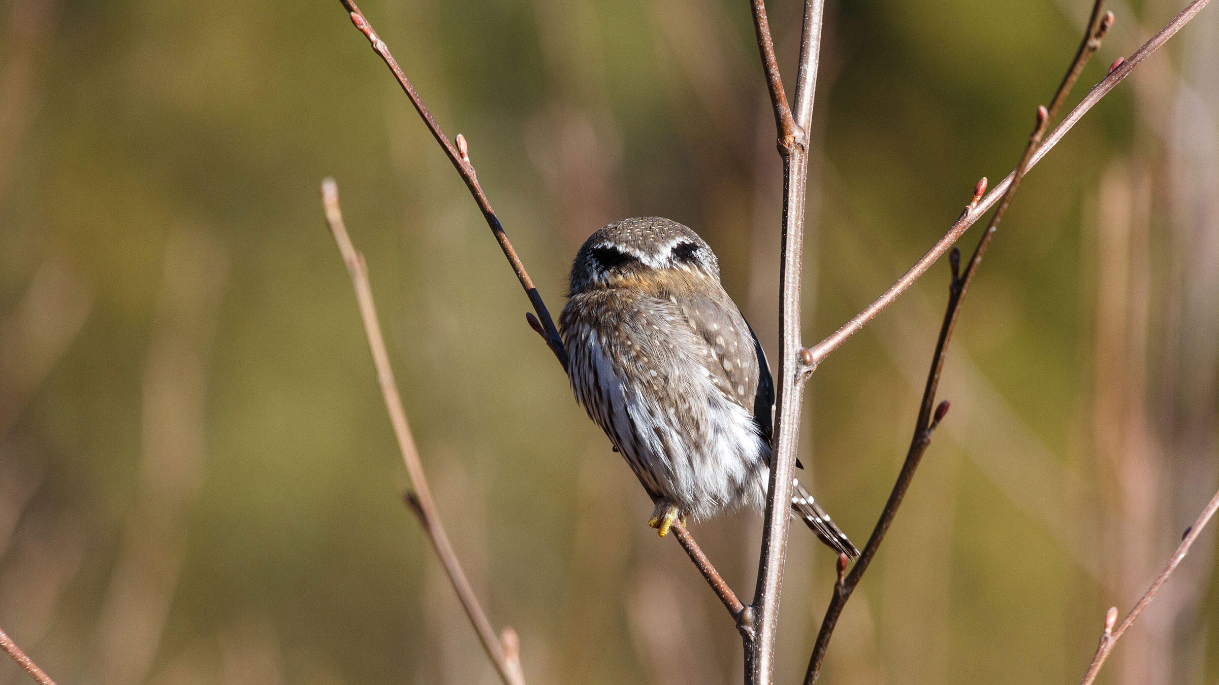 Northern Pygmy-Owls, like this one, are ruthless songbird hunters. The owls cache any extra food in tree cavities or hang it from thorns to save for later. This behavior seems fitting of a bird with such unnerving fake eyes. Feng Yu/Alamy