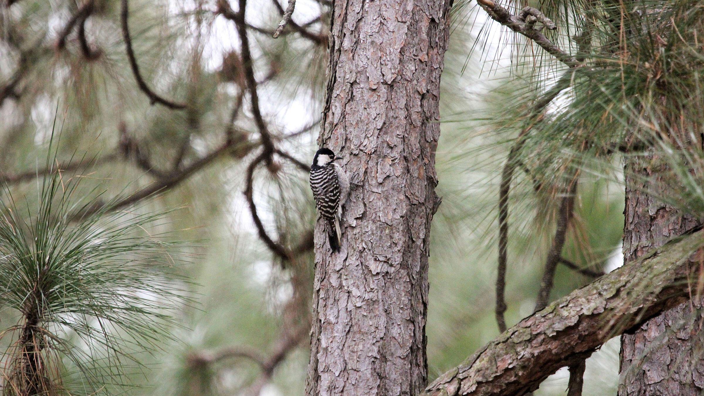Red-cockaded Woodpecker. Rebecca Vassallo/Great Backyard Bird Count