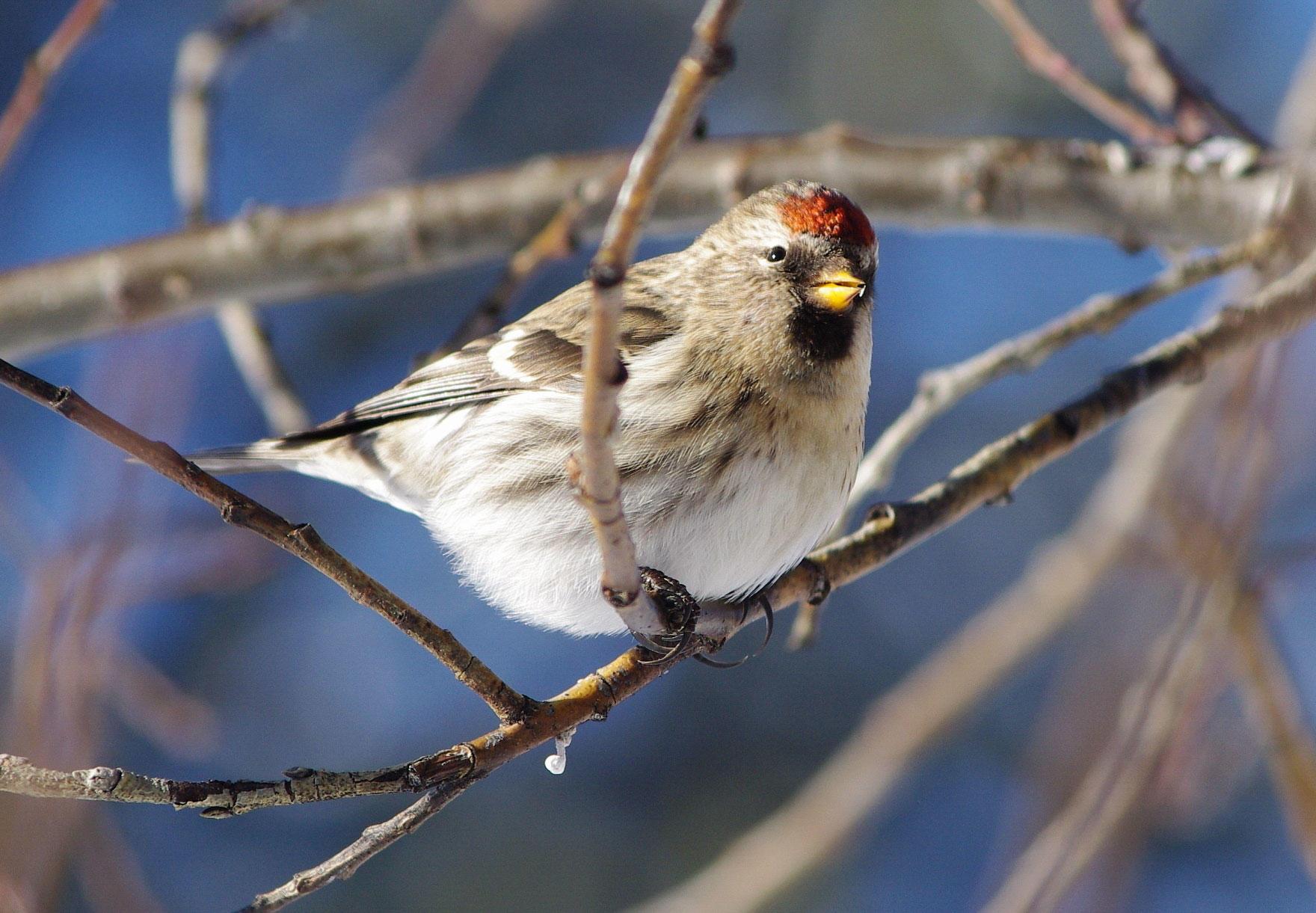 Common Redpoll. Susan Drury/Audubon Photography Awards