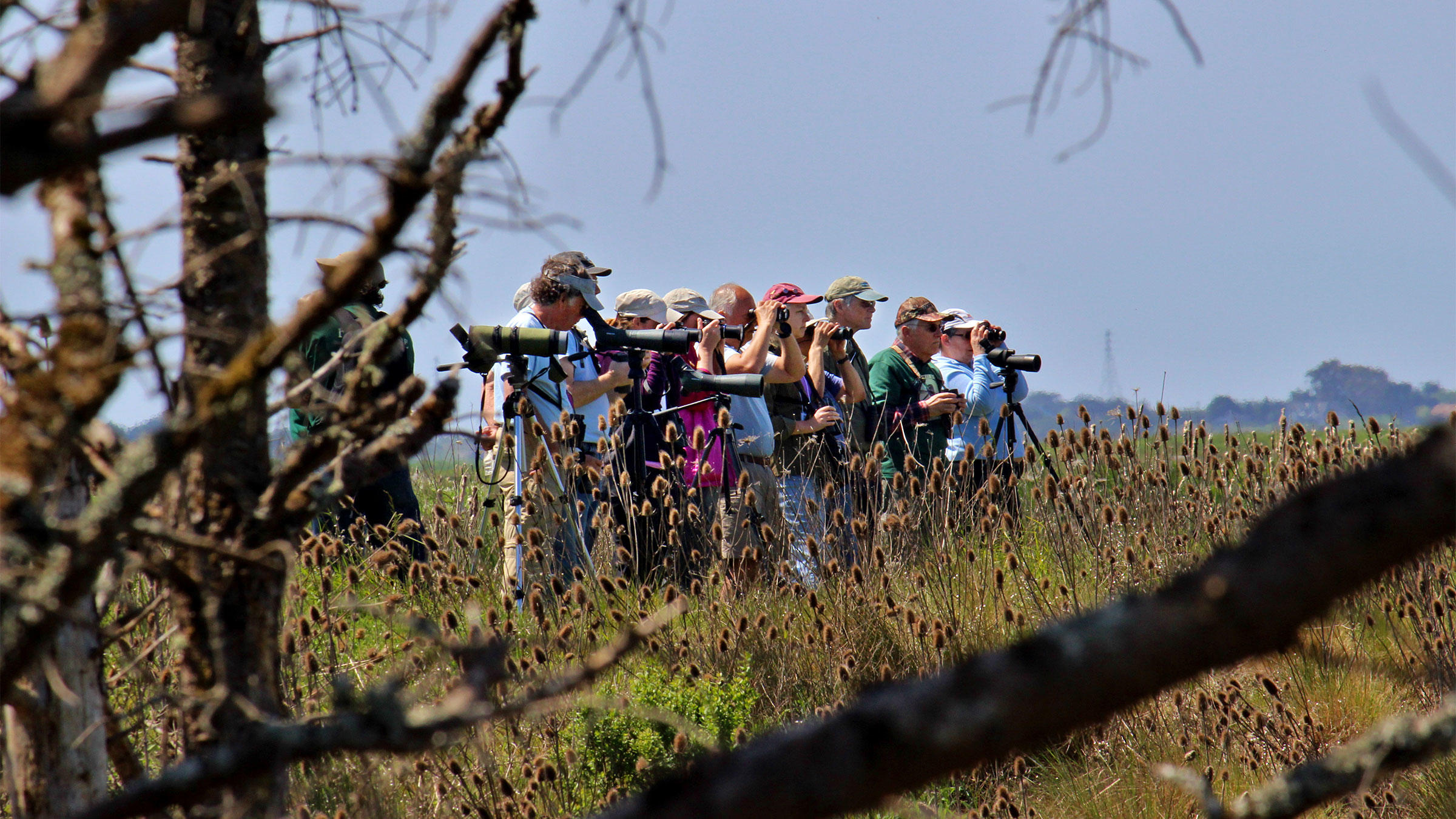 Thousands of Marbled Godwits flock to Northern California's Humboldt Bay during Godwit Days, a festival held in Arcata, California at the end of April. Birders with scopes flock there, too. Neva Swensen
