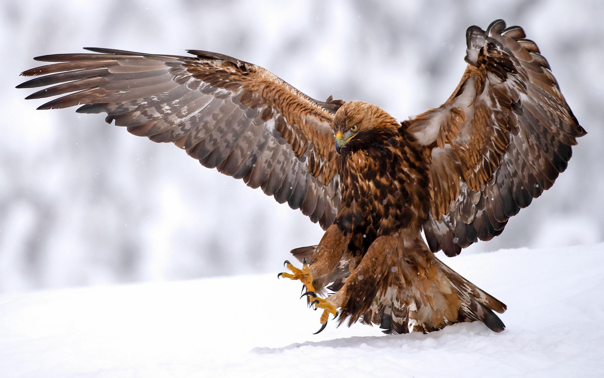 Golden Eagle. Stewart Finlayson