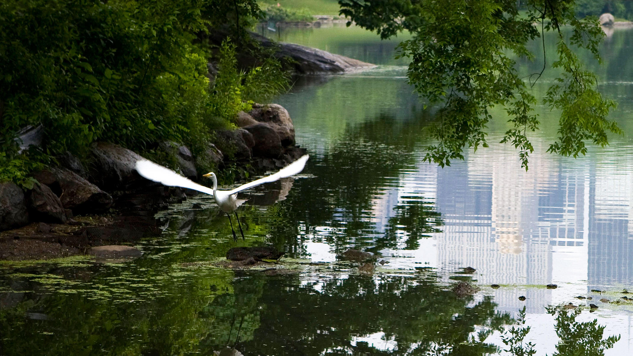 A Great Egret takes off from one of Central Park's water bodies, which are visited by dozens of waterbird species. Francois Portmann