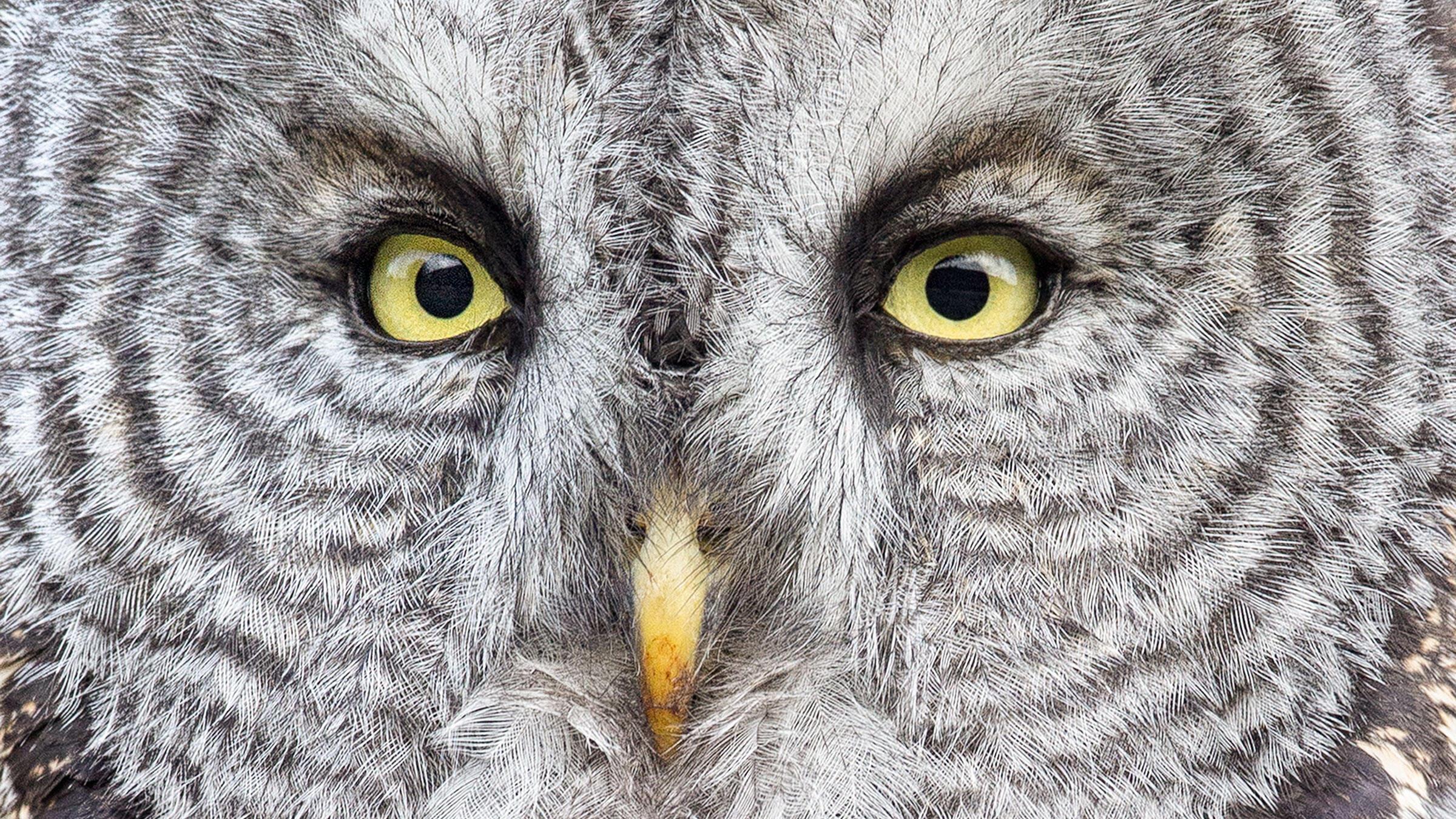 Great Gray Owl. Melissa Groo