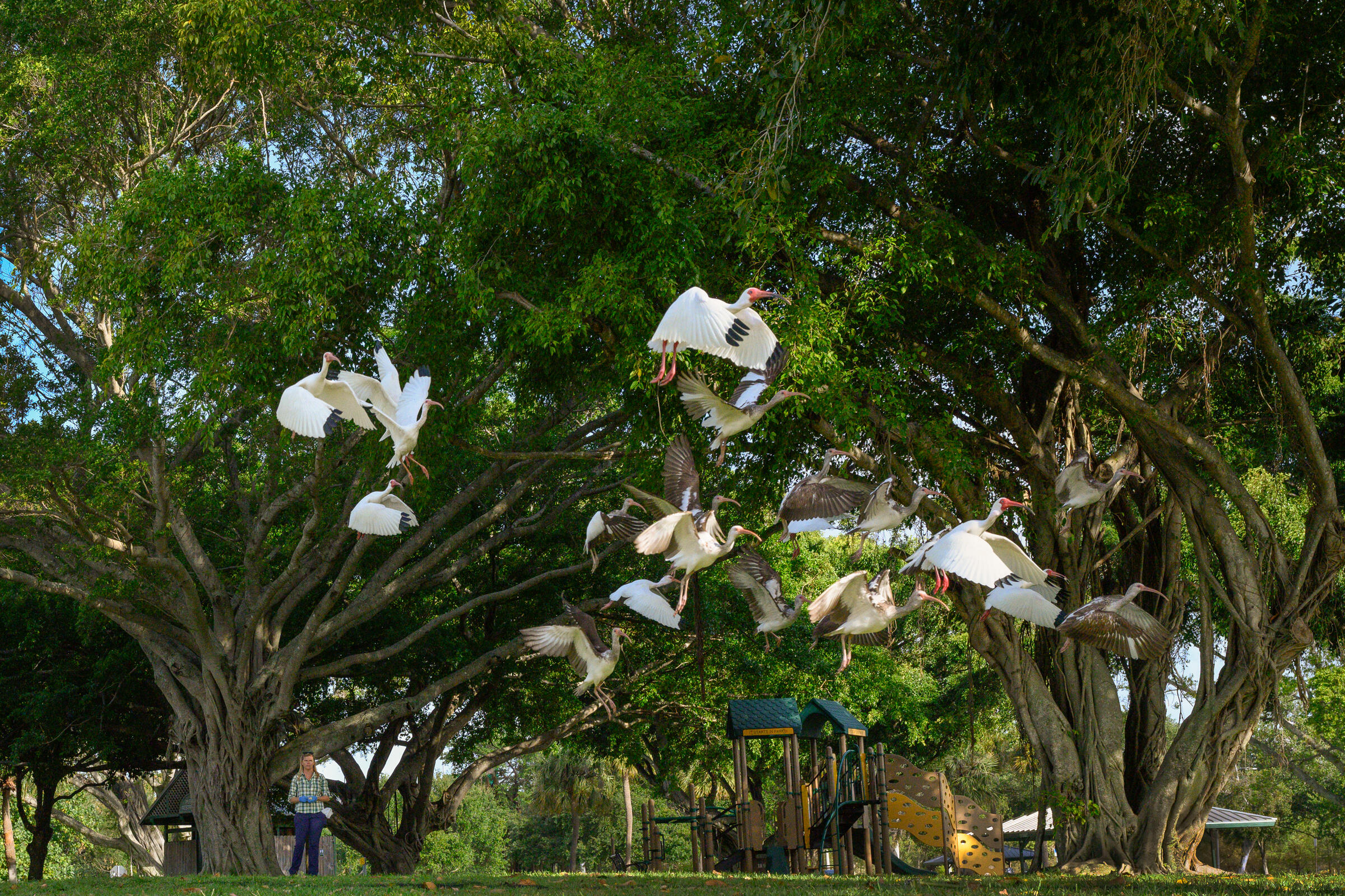 About a dozen White Ibis are in mid-flight in the air, with wings flapping, as a scientist in the background looks on. Behind them is a kids' playground and green trees.