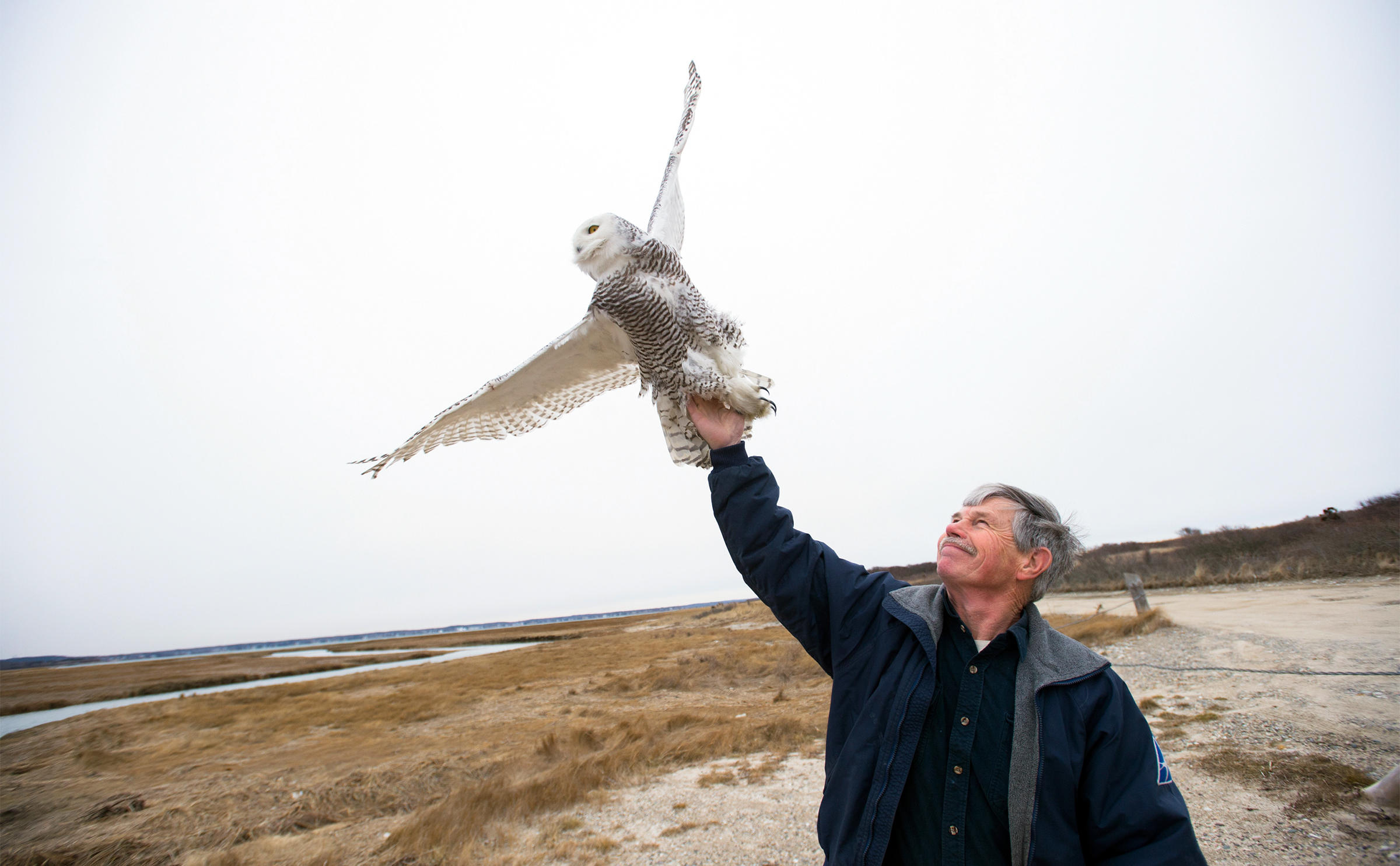 Norman Smith releases a Snowy Owl on a beach in Duxbury, Massachusetts, that had recently been captured at Logan Airport in Boston. Gretchen Ertl/The New York Times