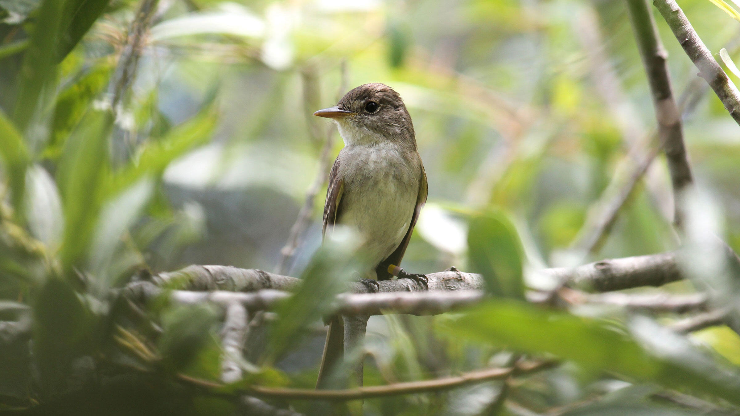 The endangered Southwestern Willow Flycatcher relies on the Rio Grande's thirsty cottonwood forests. Scarlett Howell/USGS
