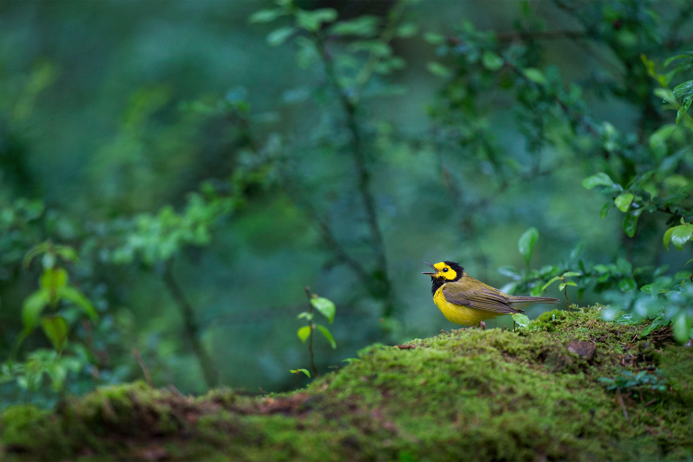 Hooded Warbler. Ray Hennessy/iStock