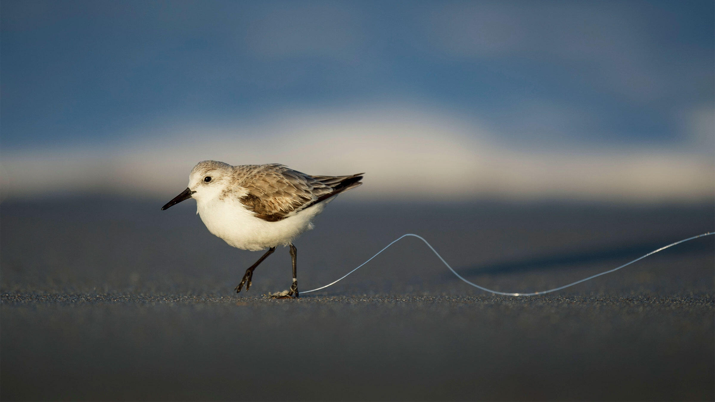Sanderling tangled in fishing line. Birds that get snared too tightly or for too long often end up losing a limb from lack of blood flow. Raymond Hennessy/Alamy