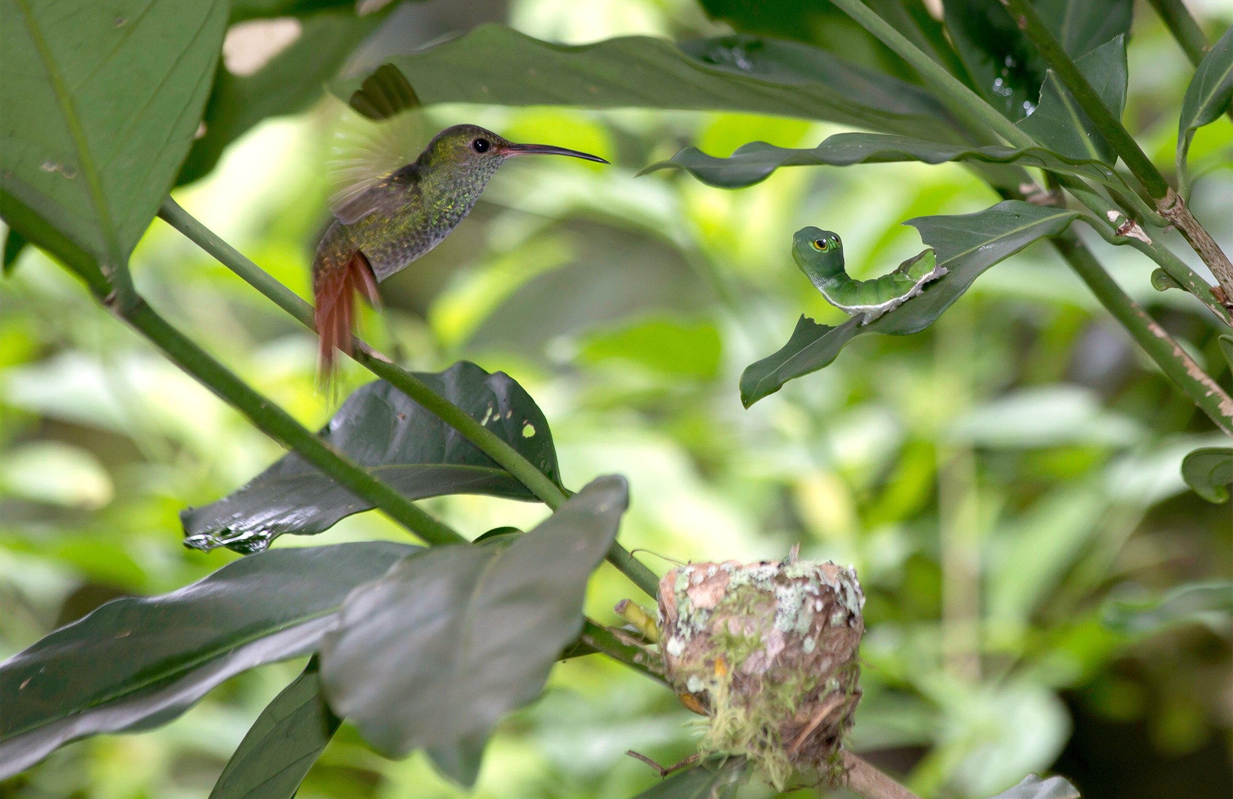 A female Rufous-tailed Hummingbird rears up to attack a Costa Rica leaf moth caterpillar. This close-up image was captured by a trained biologist with minimal disturbance to the bird and its nest (so don't try it at home!). Jim Marden
