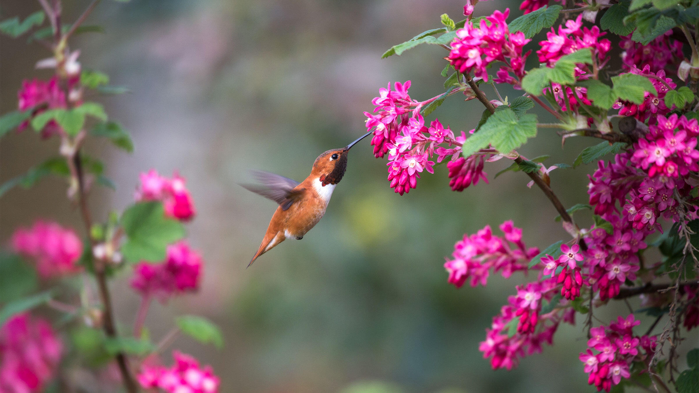 Rufous Hummingbird on red-flowering currant, a plant native to the Northwest. iStock
