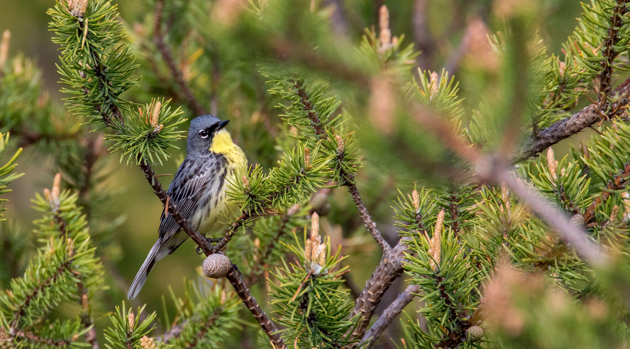 Conserving Kirtland's Warblers means maintaining the young jack pine forests where they nest. Eric Wengert/Alamy
